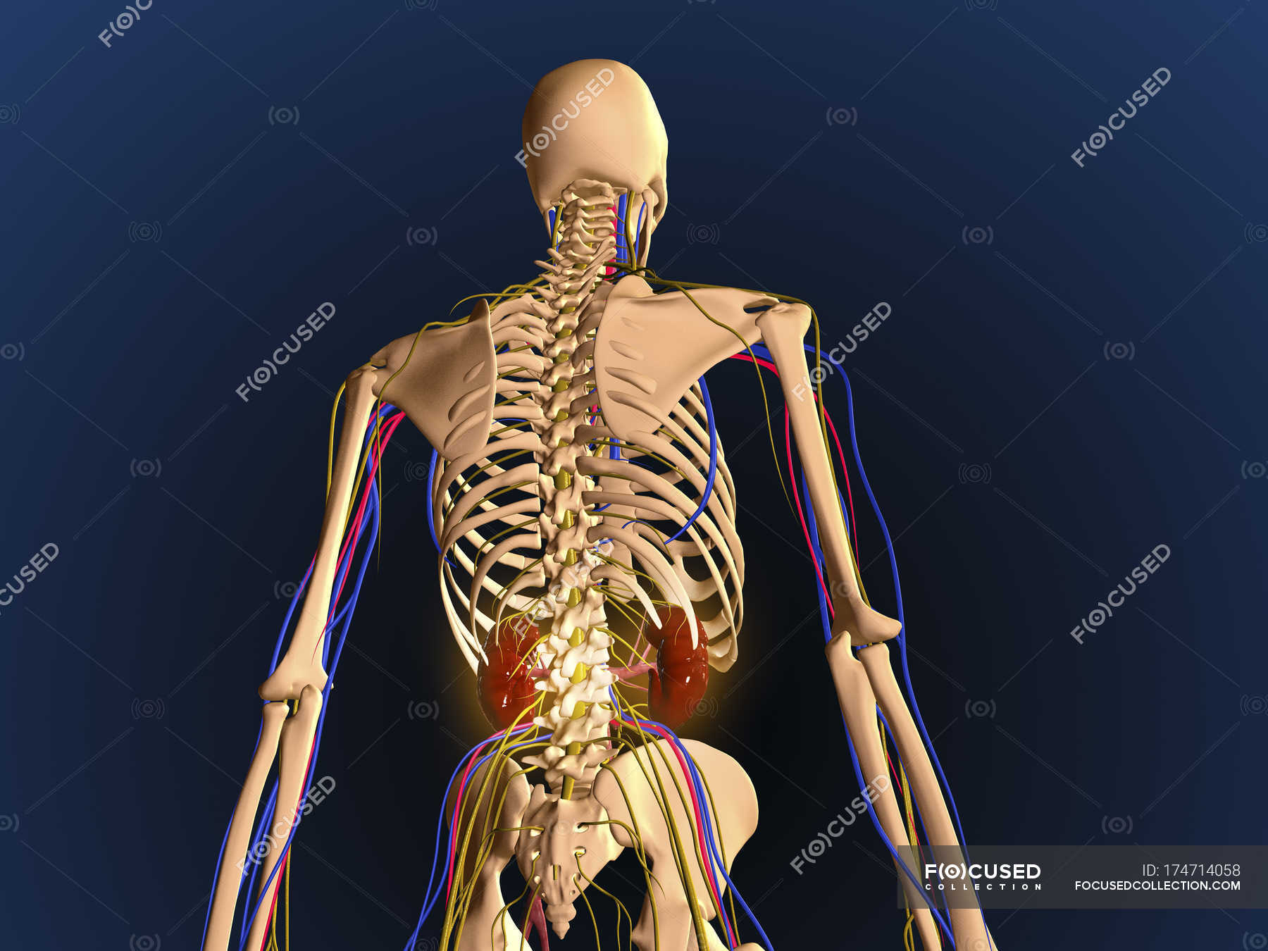 Rear view of human skeleton showing kidneys and nervous system ...