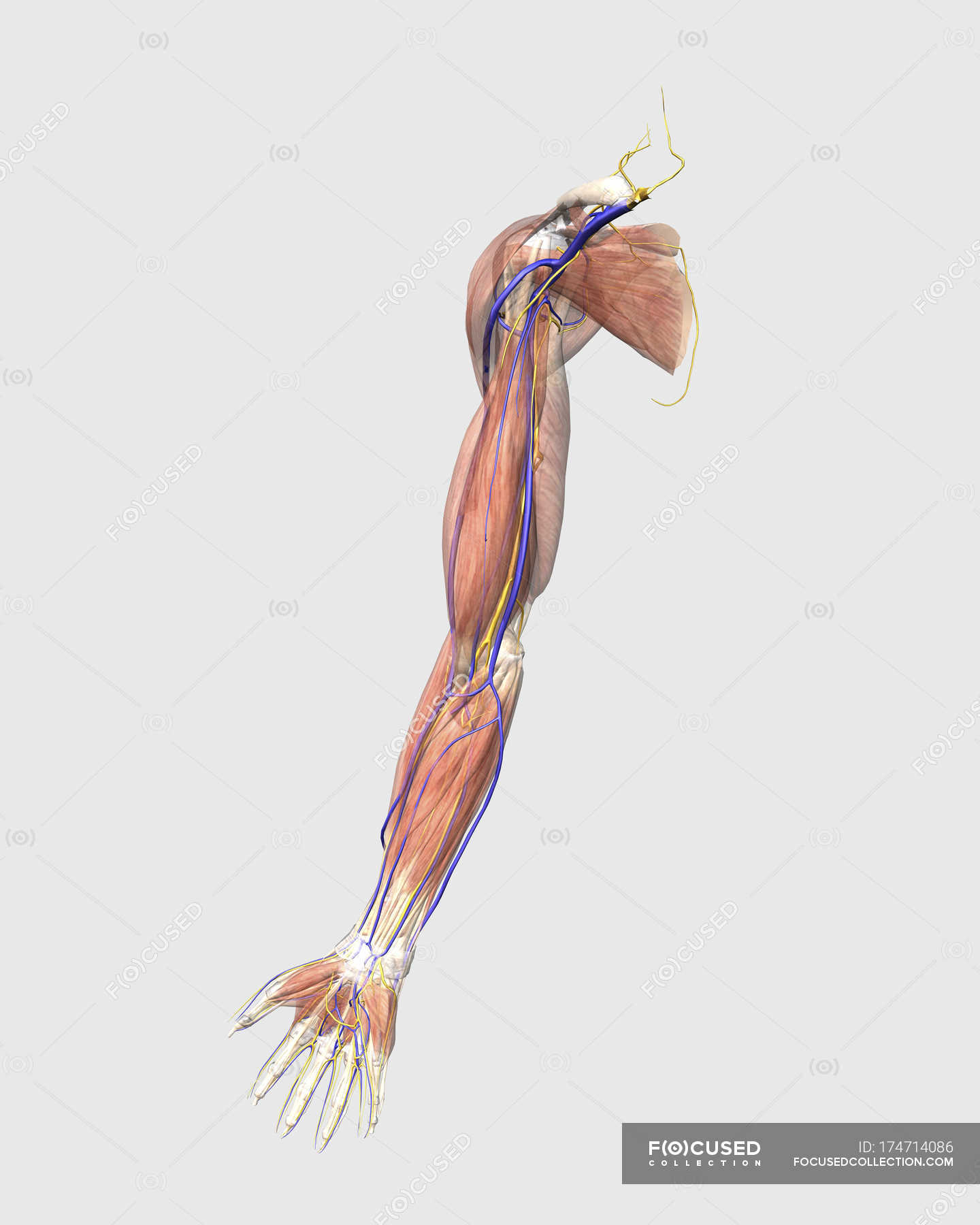 Medical illustration of human arm muscles, veins and nerves — Stock ...