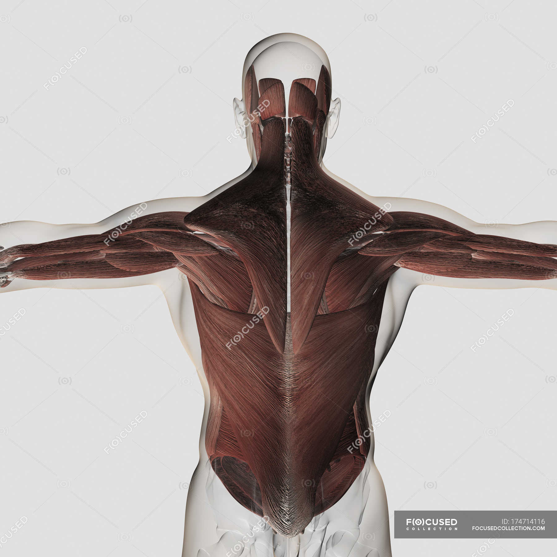 Male Muscle Anatomy Of The Human Back Stock Photo 174714116