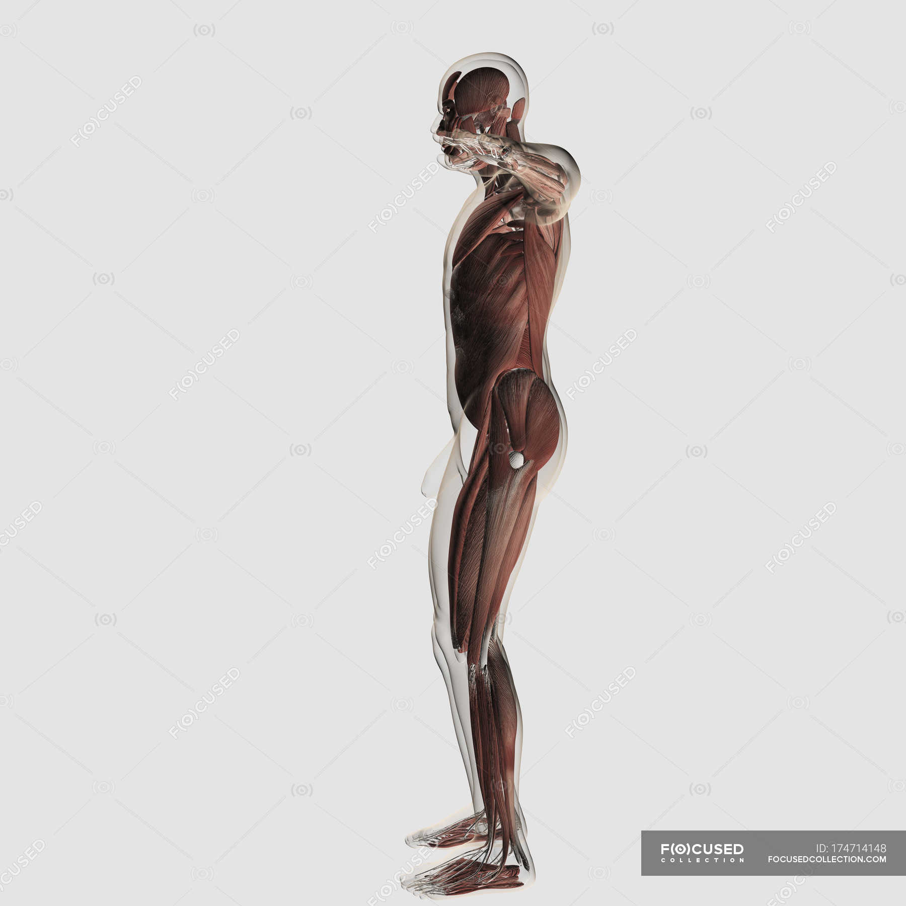 Anatomy Of Male Muscular System On White Background Side View