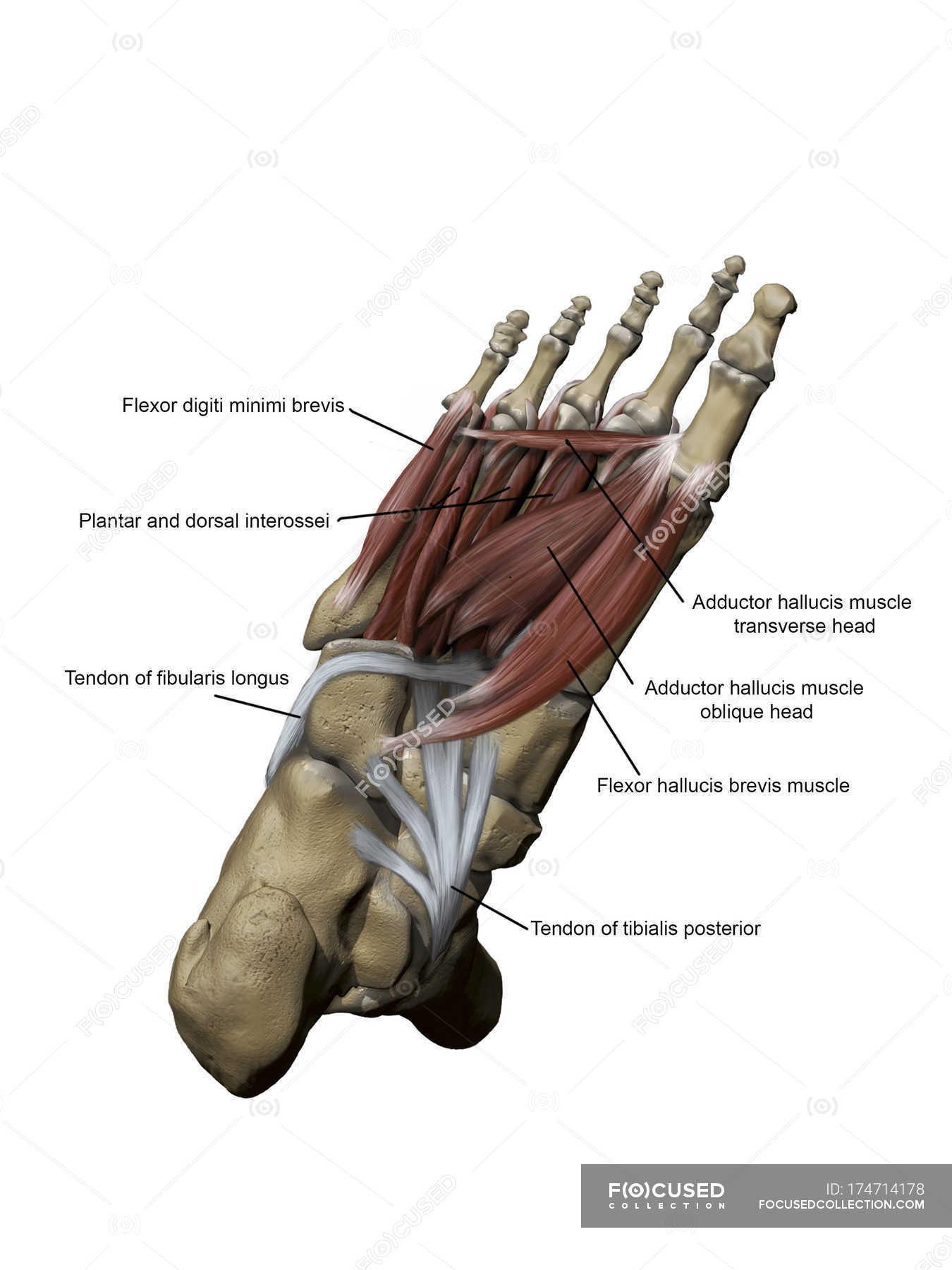 Fuß mit plantar zwischen- und tiefen Muskeln und Knochen Strukturen ...