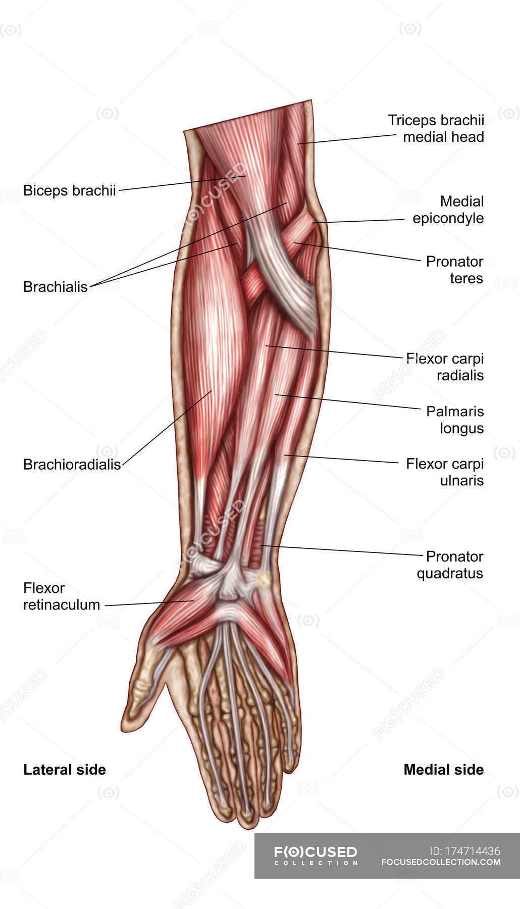 Anatomy of human forearm muscles with labels — Stock Photo | #174714436