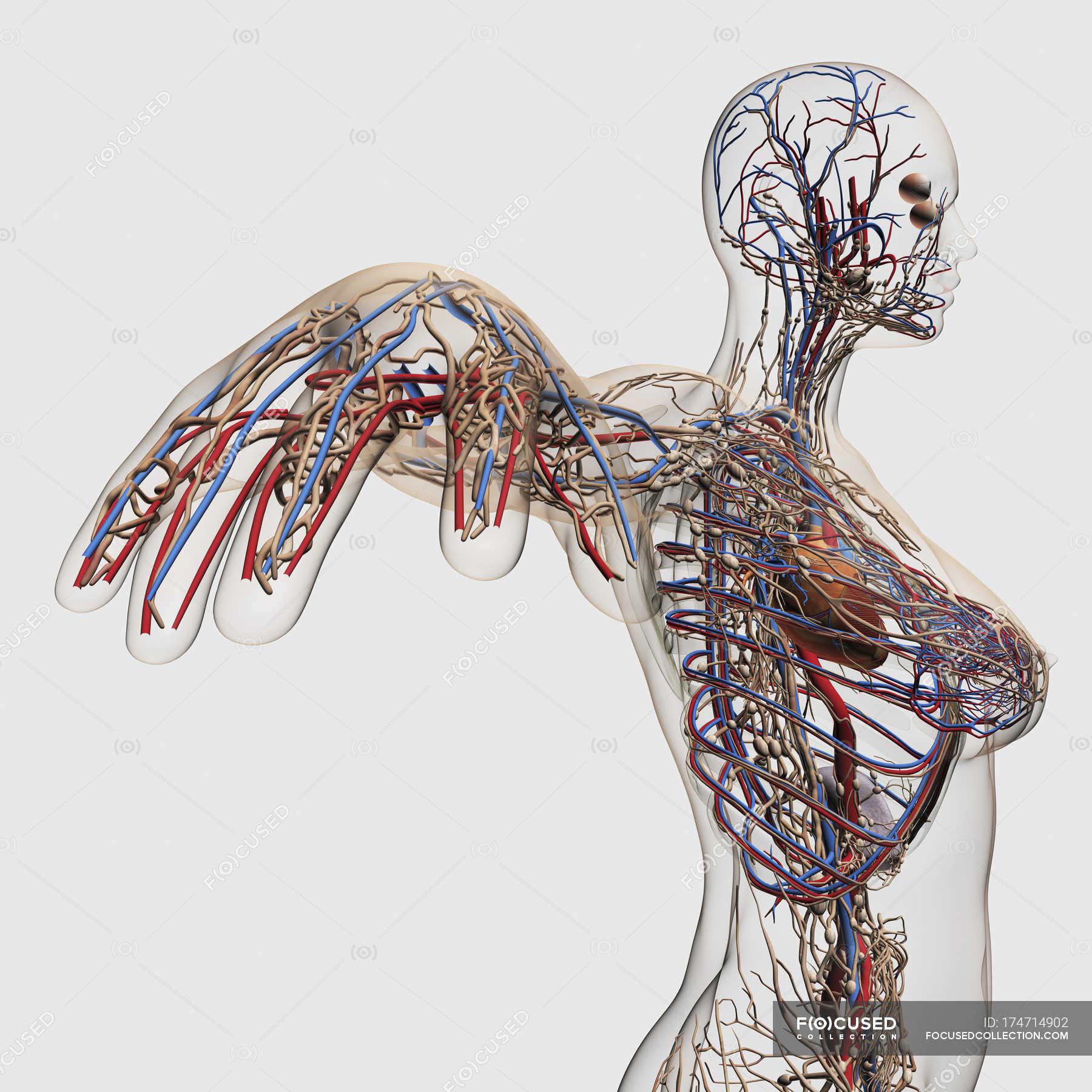 Medizinische Illustration der Arterien, Venen und Lymphsystem mit ...