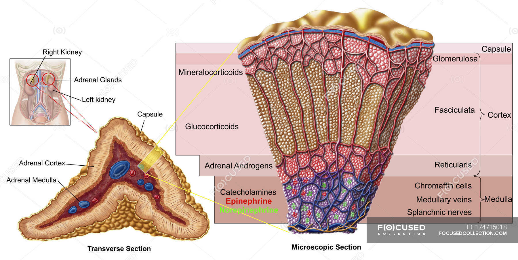 Anatomy Of Adrenal Gland With Labels Stock Photo 174715018
