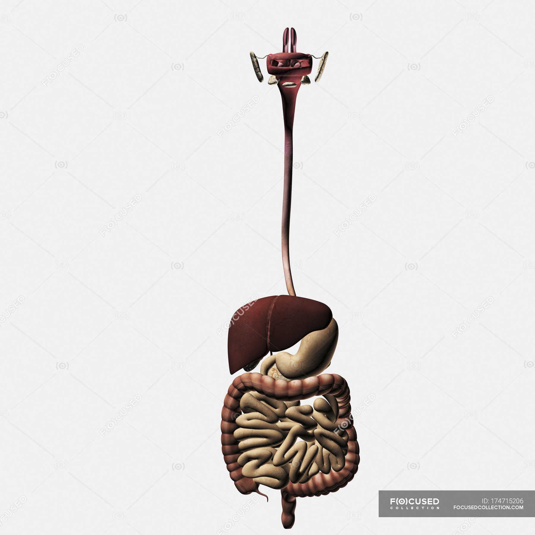 Medizinische Illustration des menschlichen Verdauungssystems ...