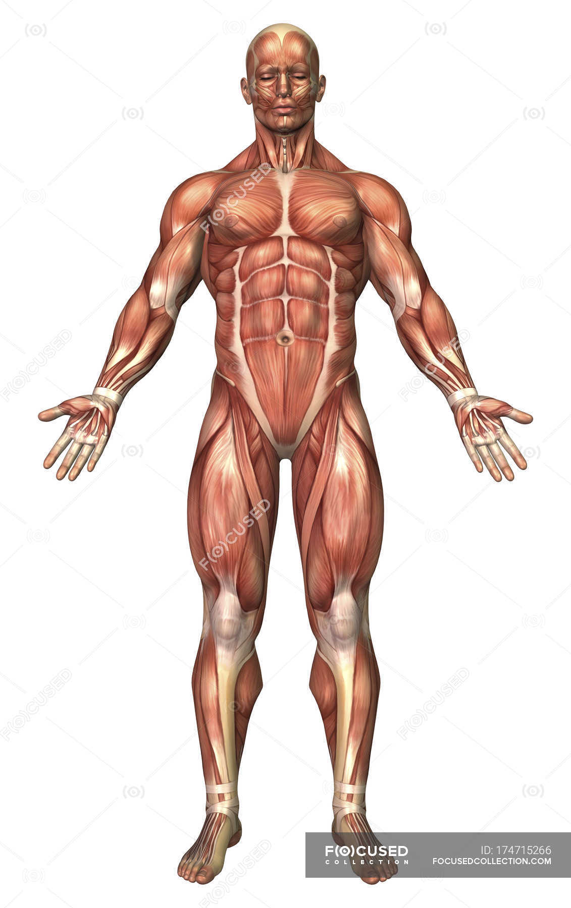 Anatomy Of Male Muscular System Front View Full Length Stock