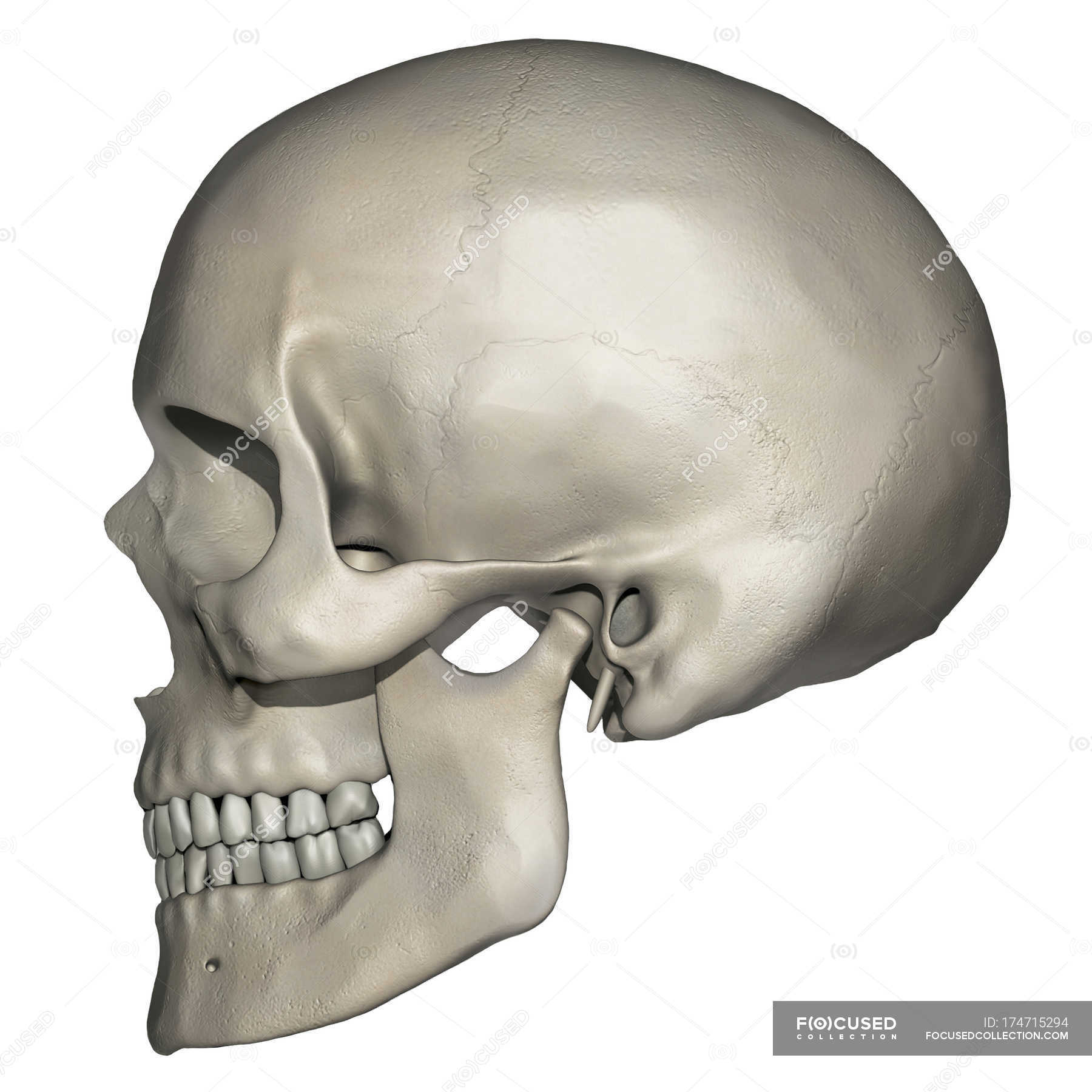 Lateral View Of Human Skull Anatomy Stock Photo 174715294
