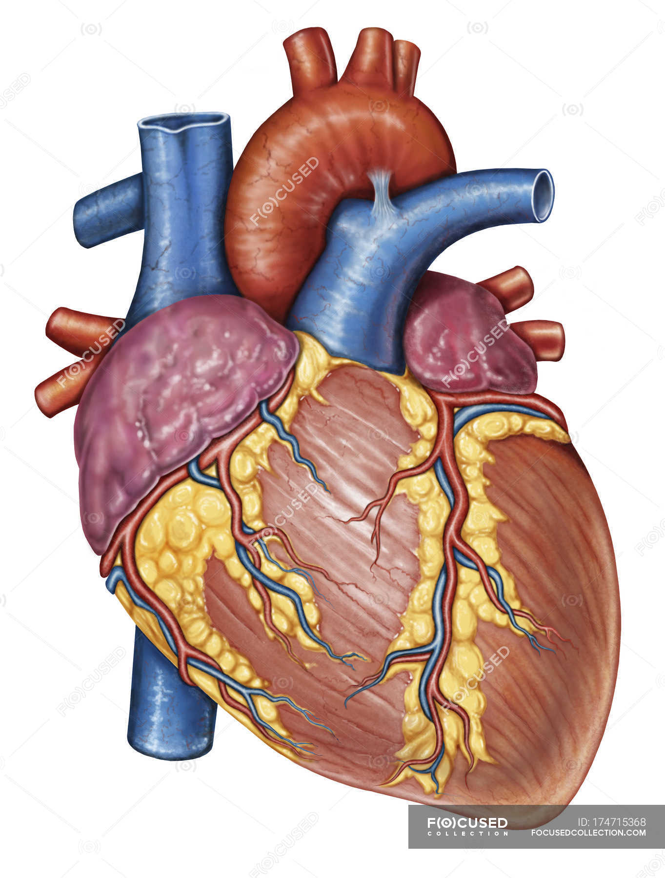 Gross Anatomy Of The Human Heart White Background Blood Vessels