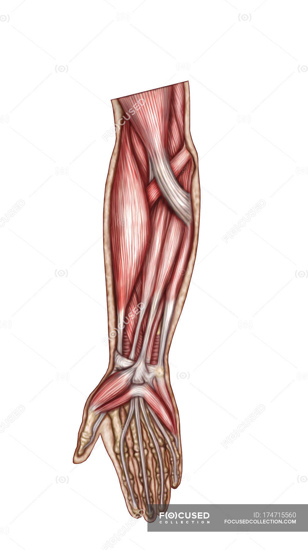 Anatomy of human forearm muscles — Stock Photo | #174715560