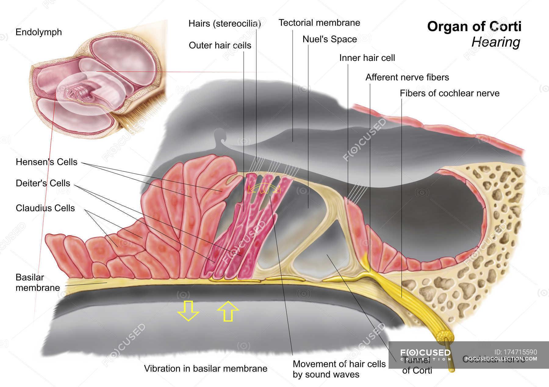 Medizinische Illustration der Anatomie das Organ von Corti ...