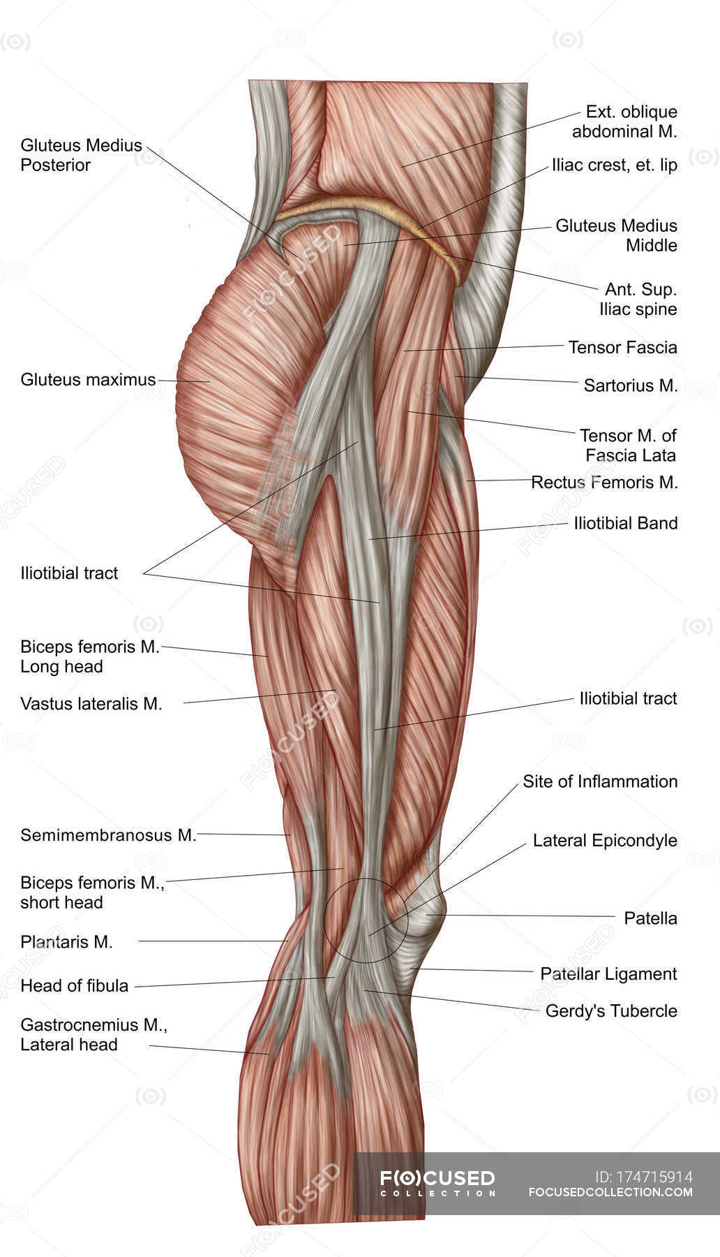 Anatomy of human thigh muscles with labels — Stock Photo   #174715914
