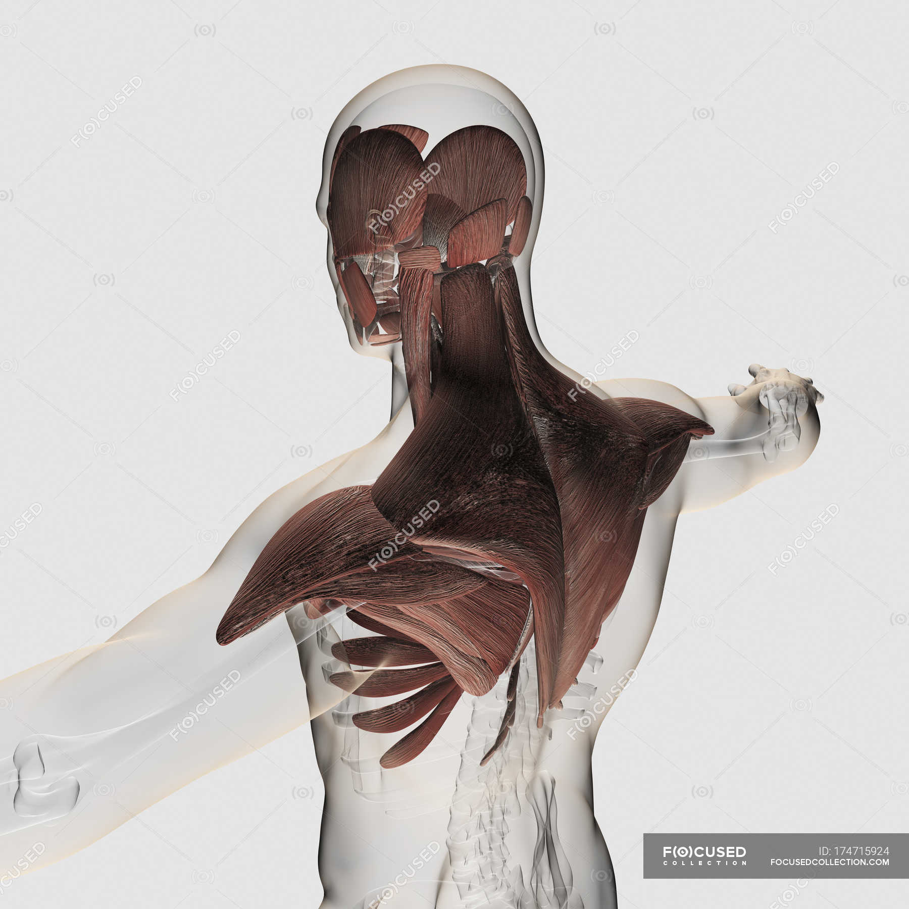 Anatomy Of Male Muscles In Upper Body Stock Photo 174715924