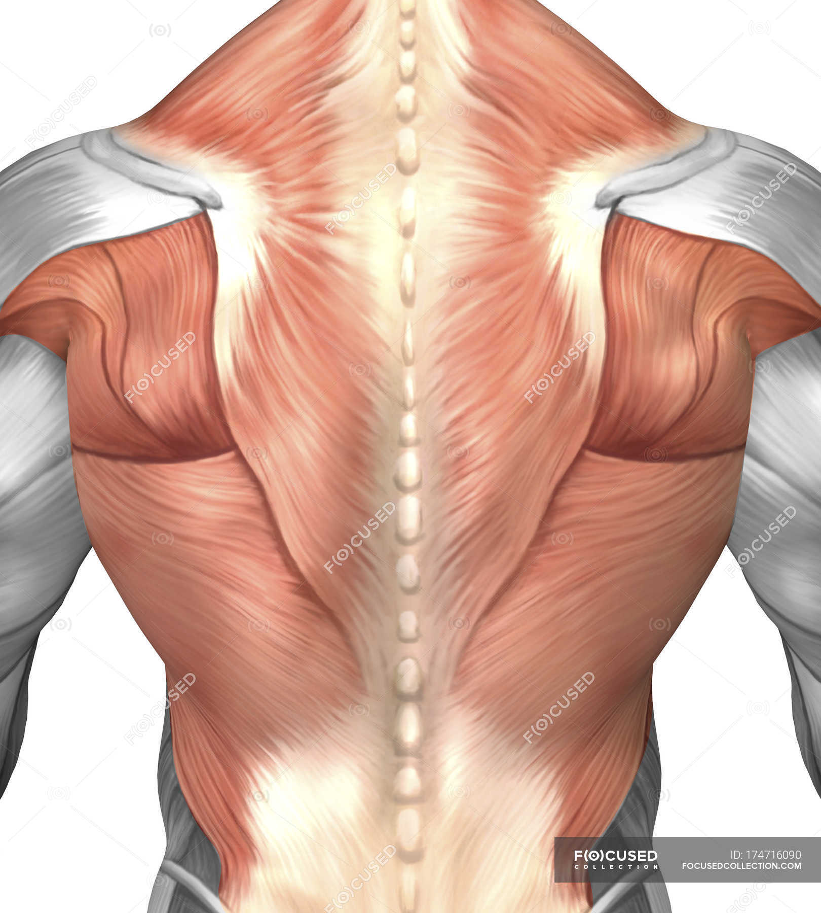Male muscle anatomy of the human back — Stock Photo | #174716090