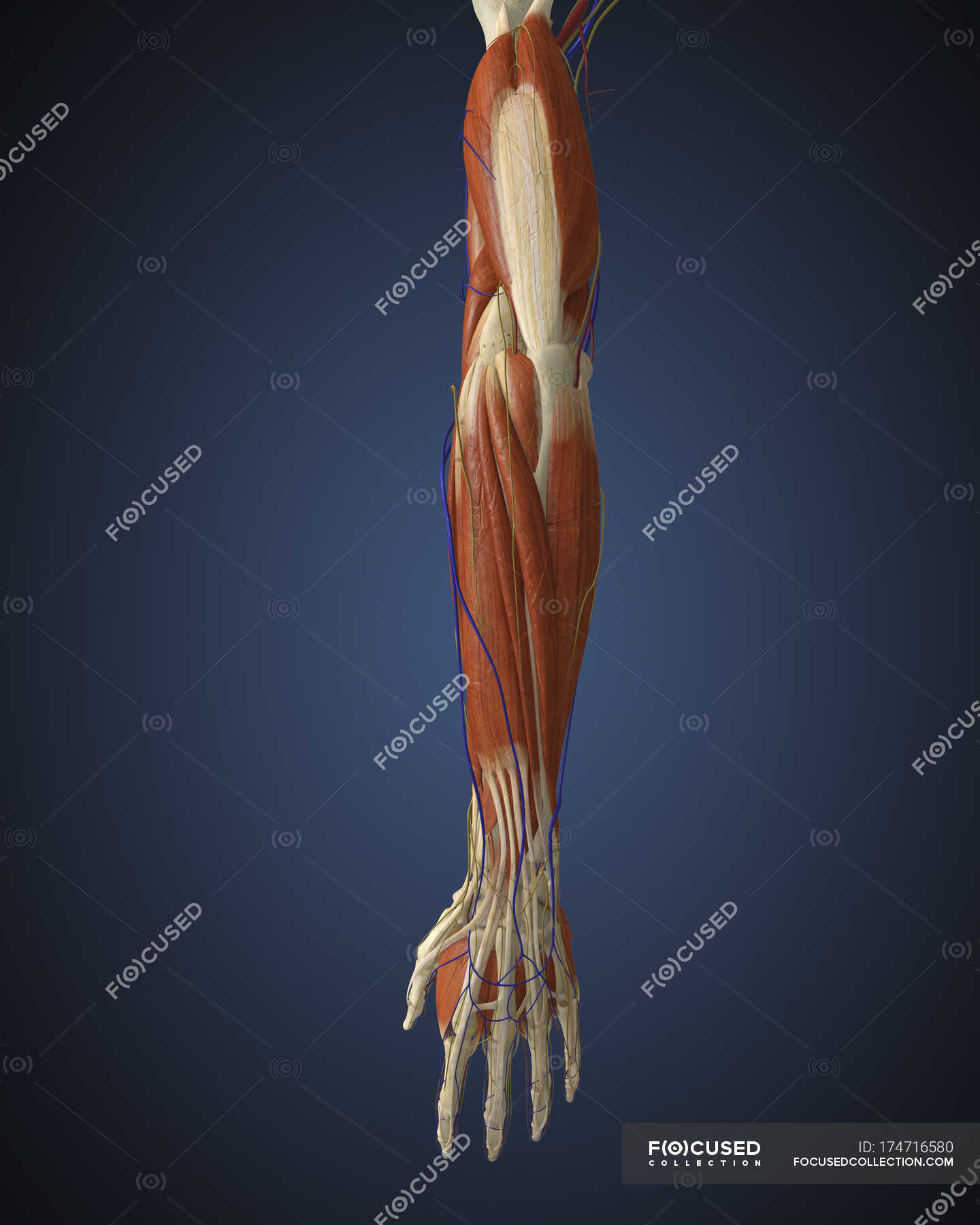 Human arm with bones, muscles and nerves — Stock Photo | #174716580