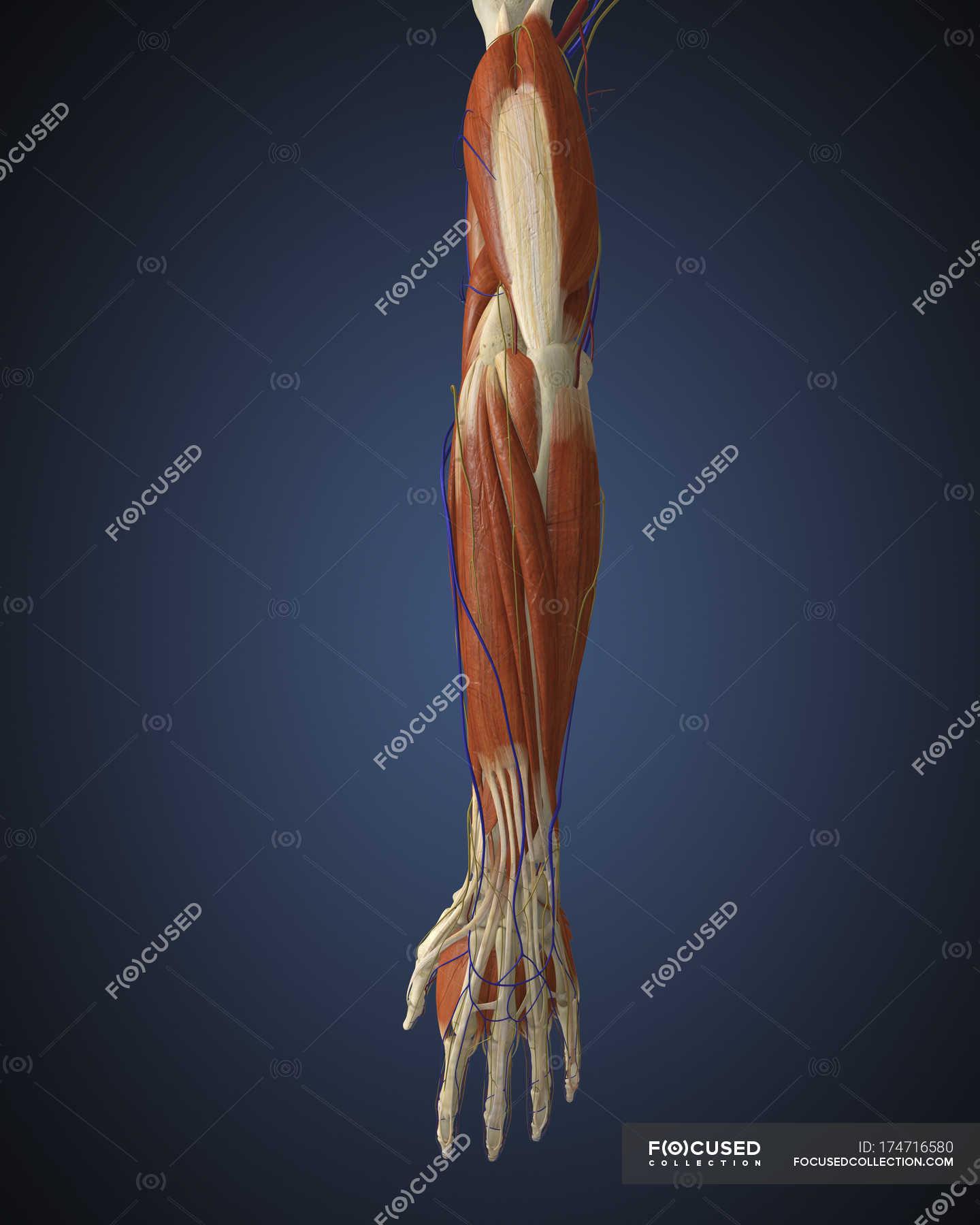 Menschlichen Arm mit Knochen, Muskeln und Nerven — Stockfoto ...