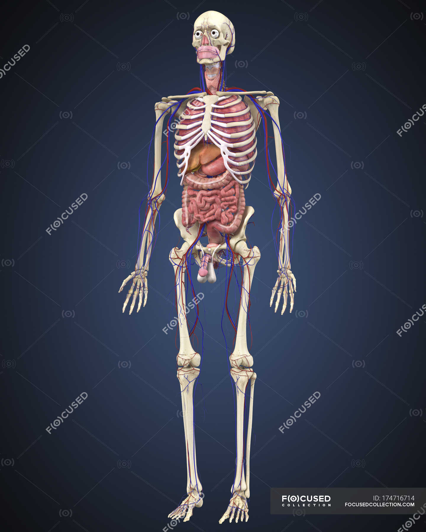 Human Skeleton With Organs And Circulatory System Stock Photo