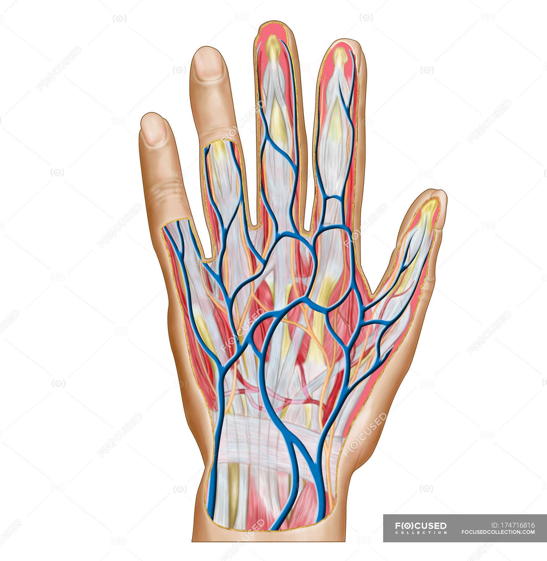 Anatomy Of Human Hand Back Side Blood Vessels Medical