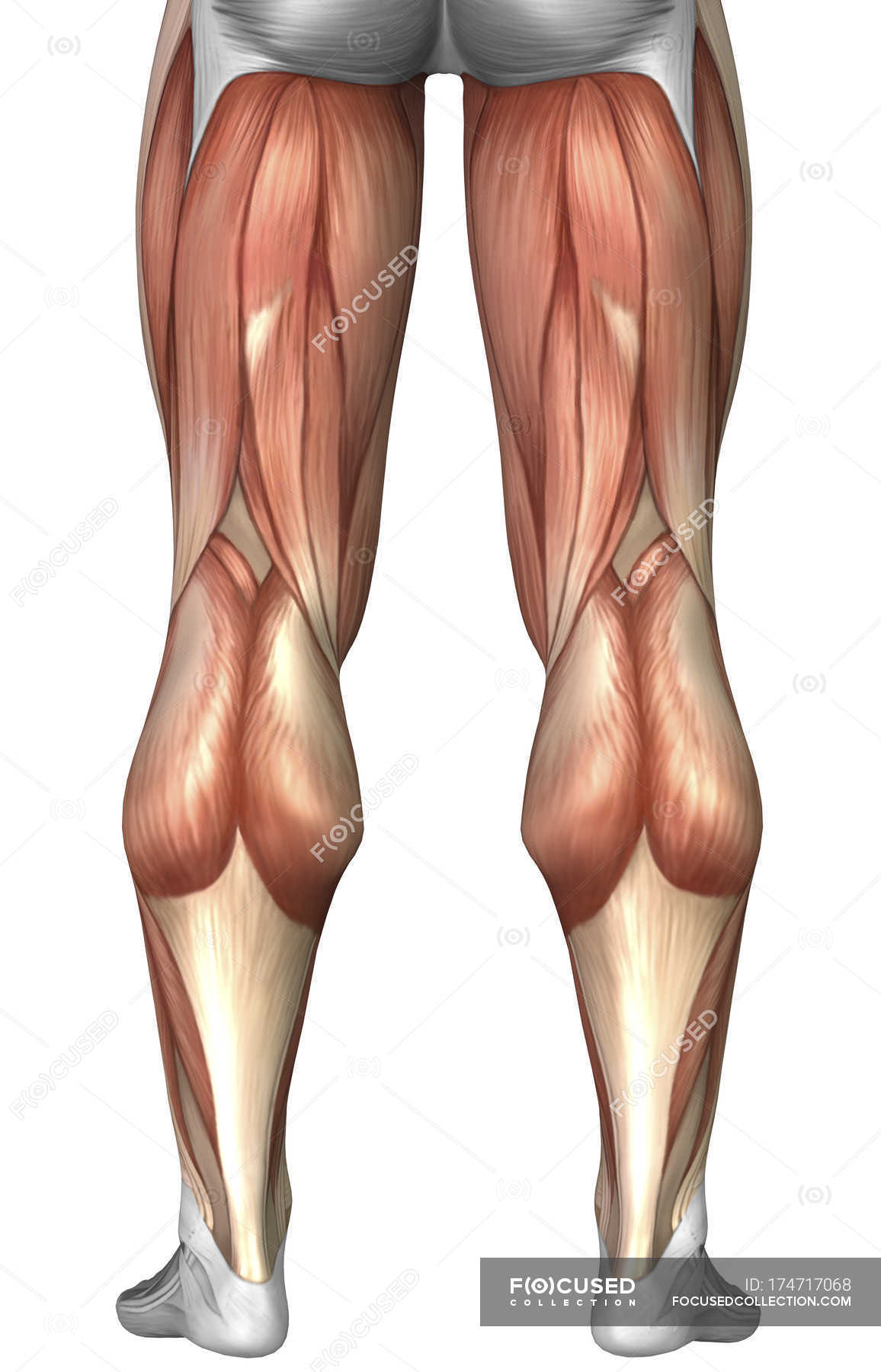 Diagram Illustrating Muscle Groups On Back Of Human Legs Rear View