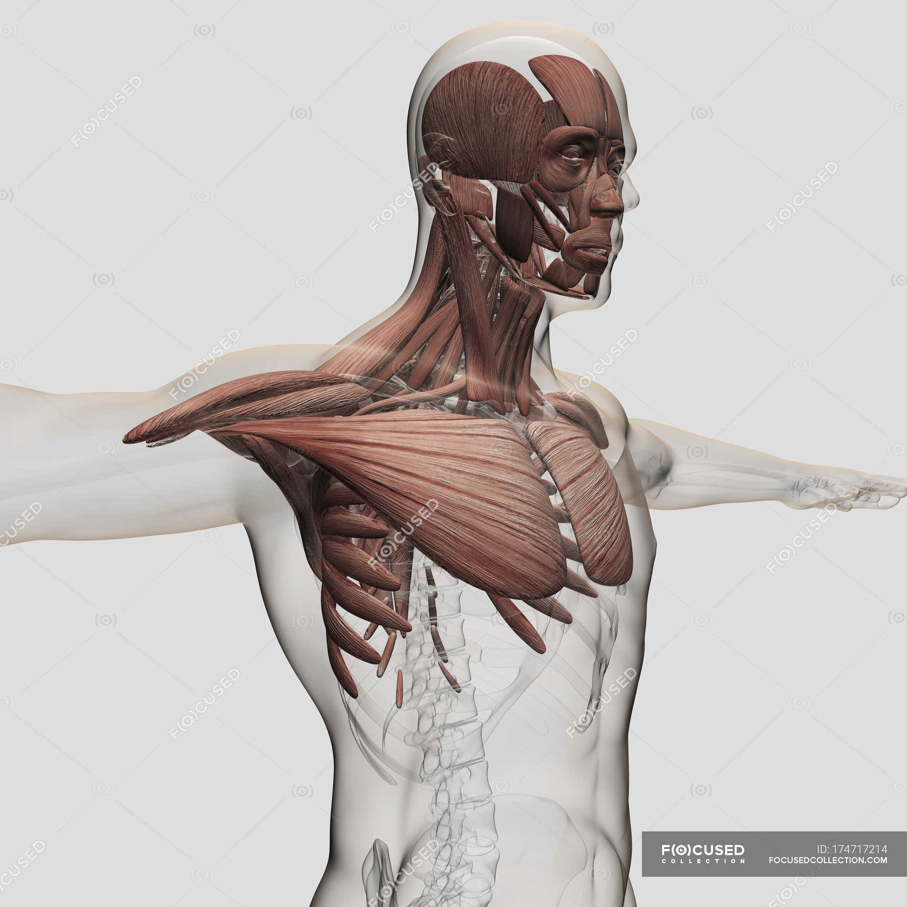Anatomy Of Male Muscles In Upper Body White Background Waist Up