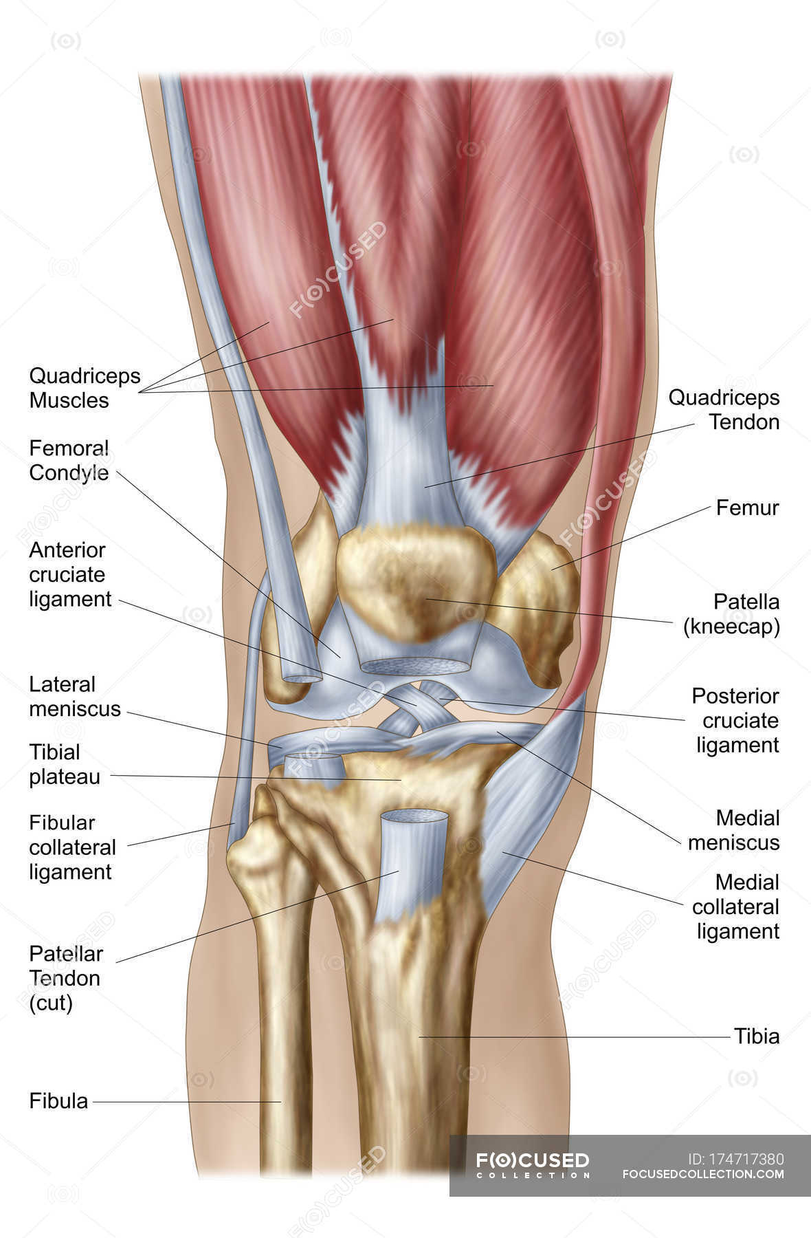 Anatomy of human knee joint with labels — Stock Photo | #174717380