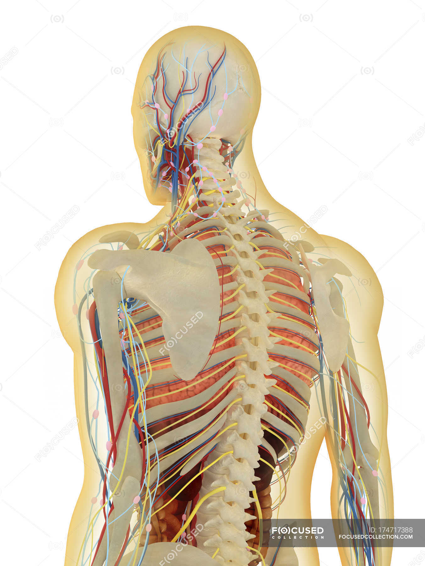 Transparent Human Body With Internal Organs Nervous Lymphatic And