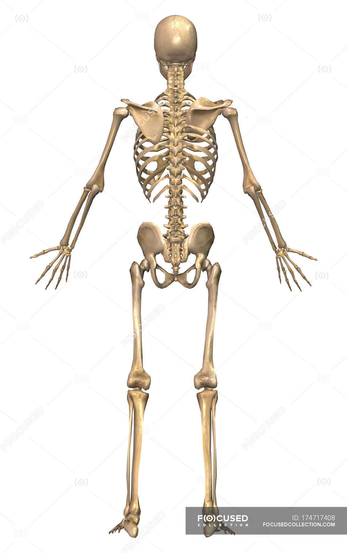 Back View Of Human Skeletal System Stock Photo 174717408