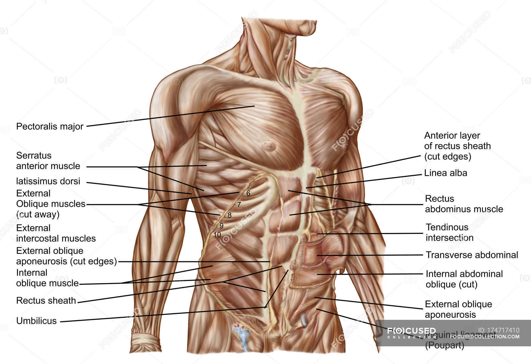 Anatomy Of Human Abdominal Muscles With Labels Stock Photo