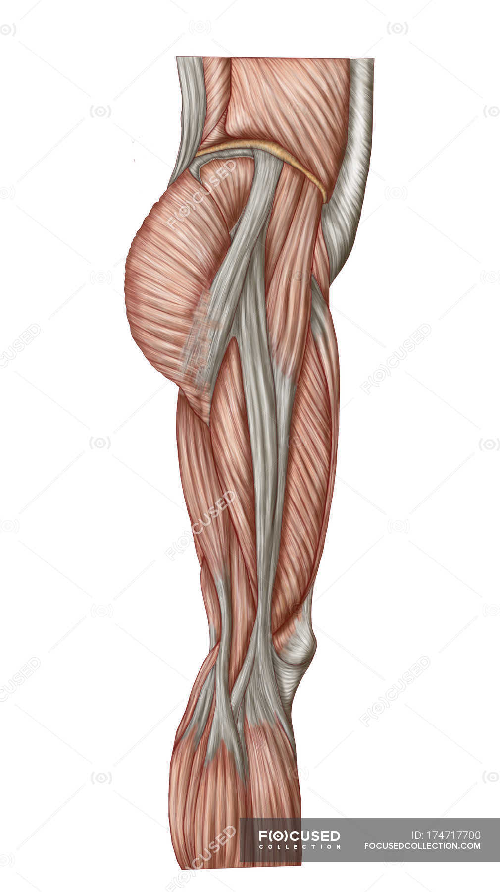 Anatomy Of Human Thigh Muscles White Background Side View Stock