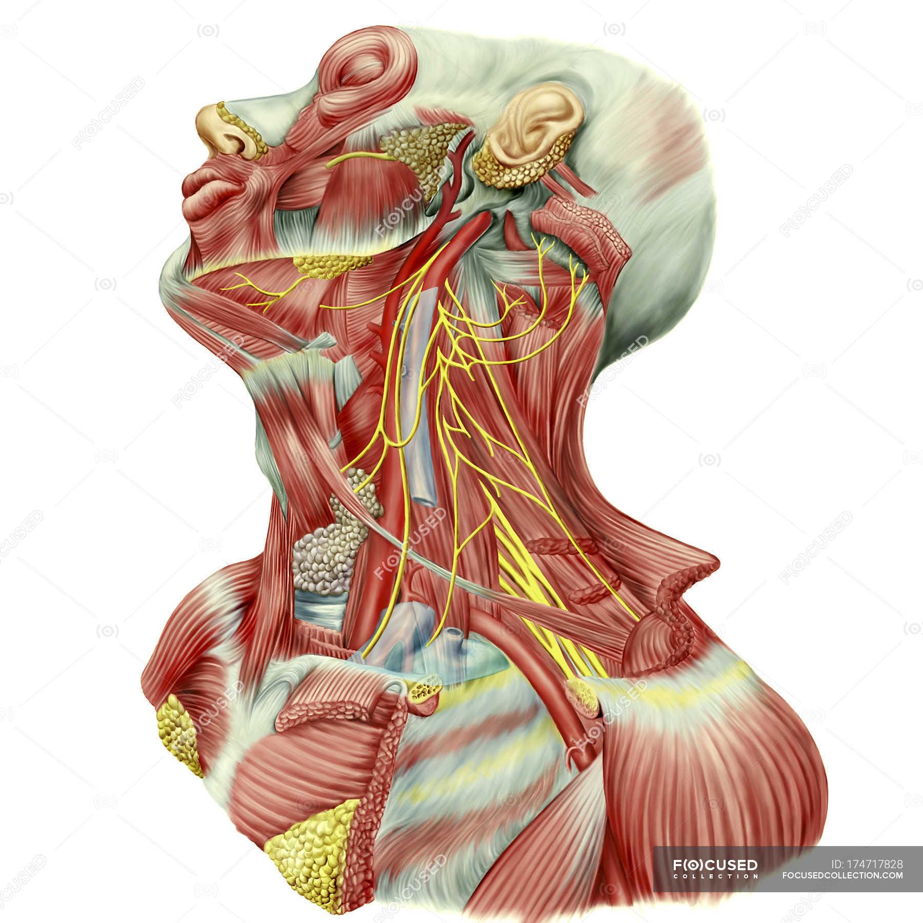 Detaillierten Sezierung Anzeigen der Hals zeigt Ansa Cervicalis ...