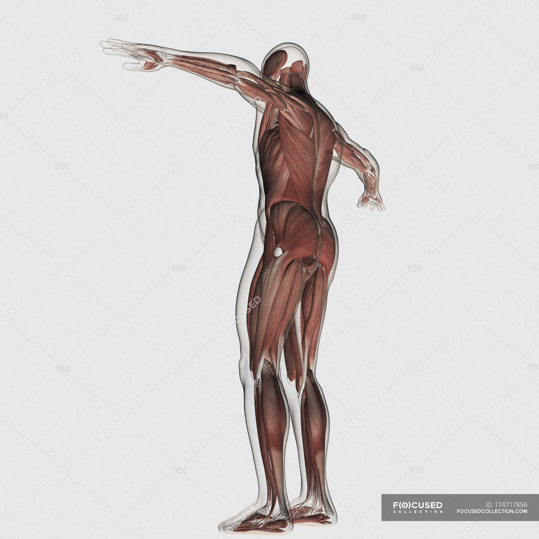 Großartig Beste Anatomie Und Physiologie Flash Karten Galerie ...