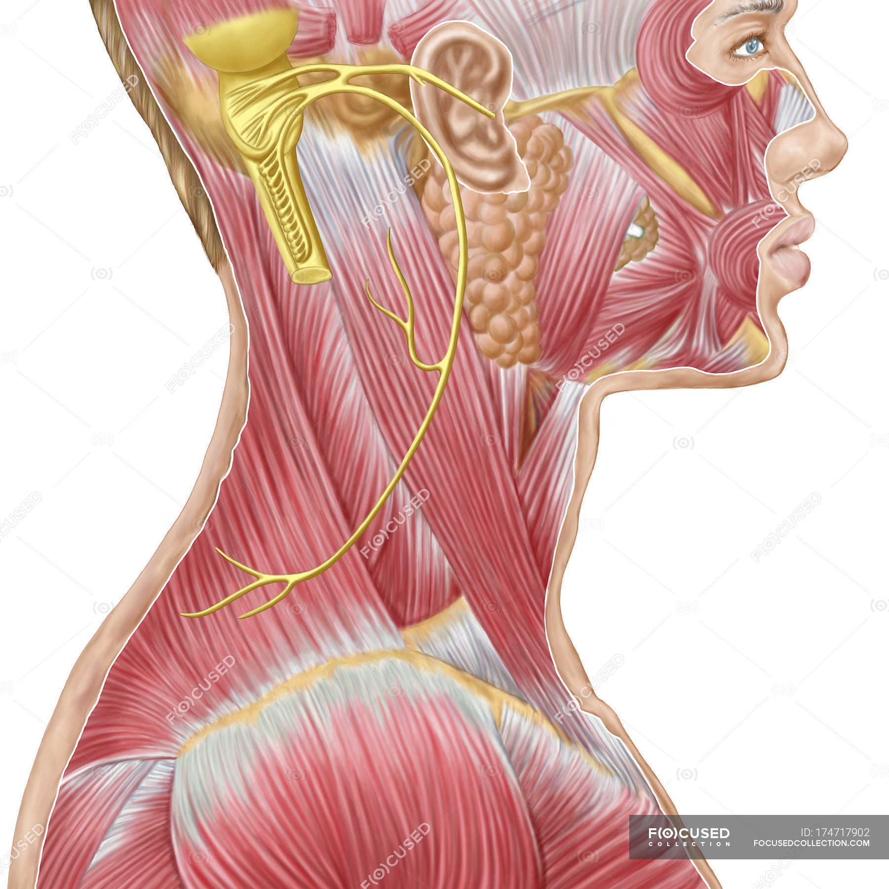 Accessory nerve view showing neck and facial muscles — Stock Photo ...