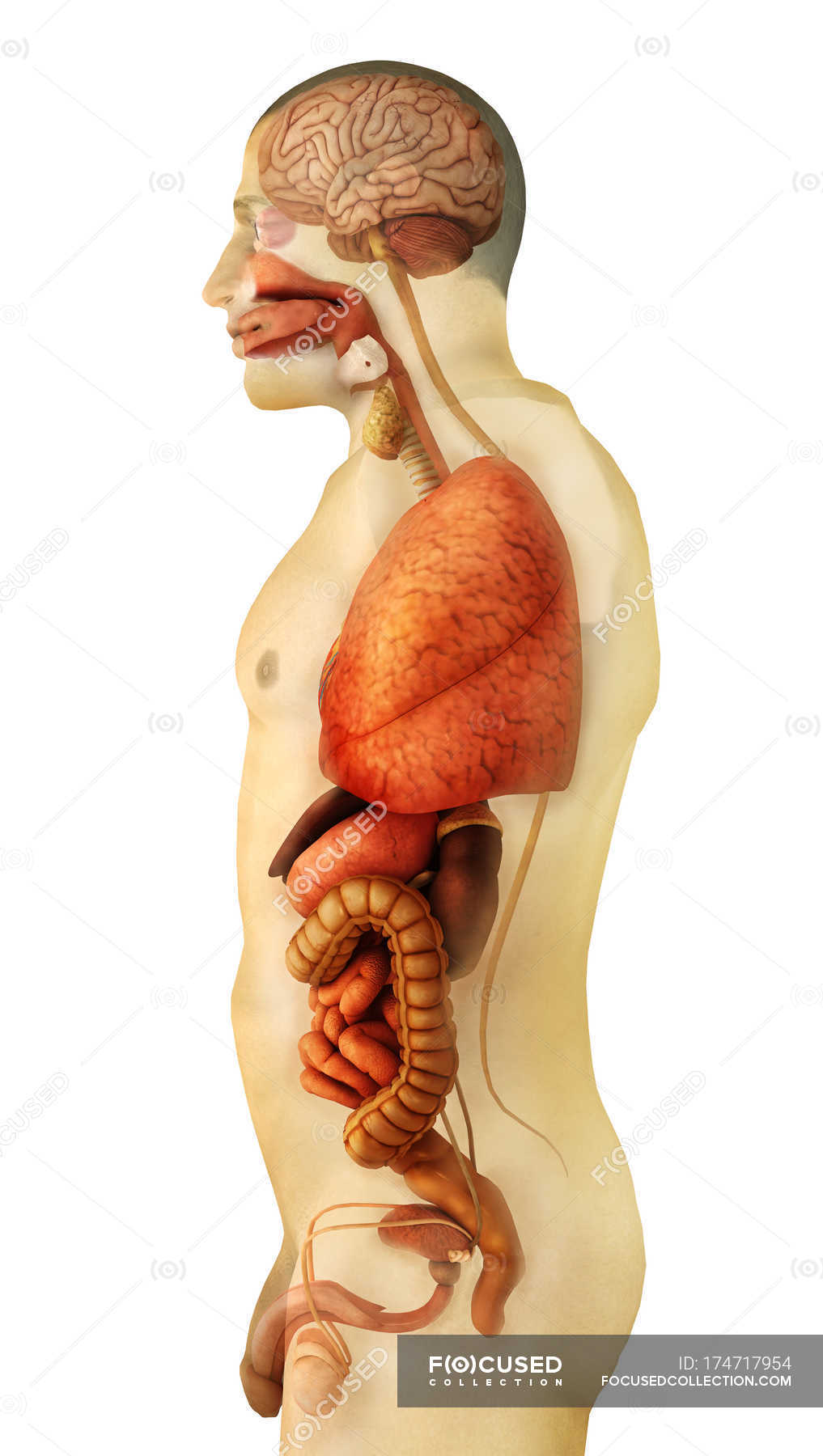 Side view of human body organs anatomy — Stock Photo | #174717954