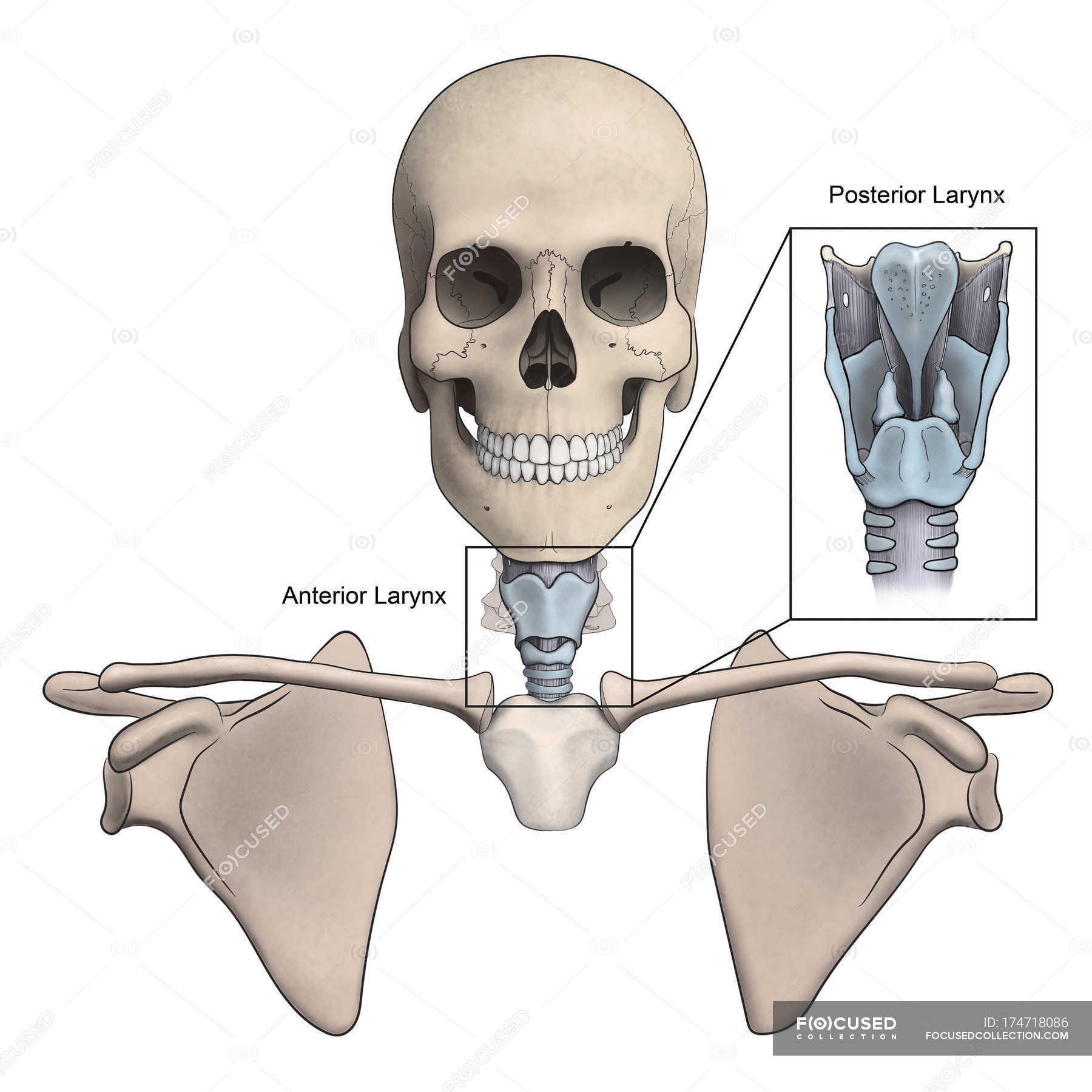 Anterior and posterior larynx and skeletal anatomy — Stock Photo ...