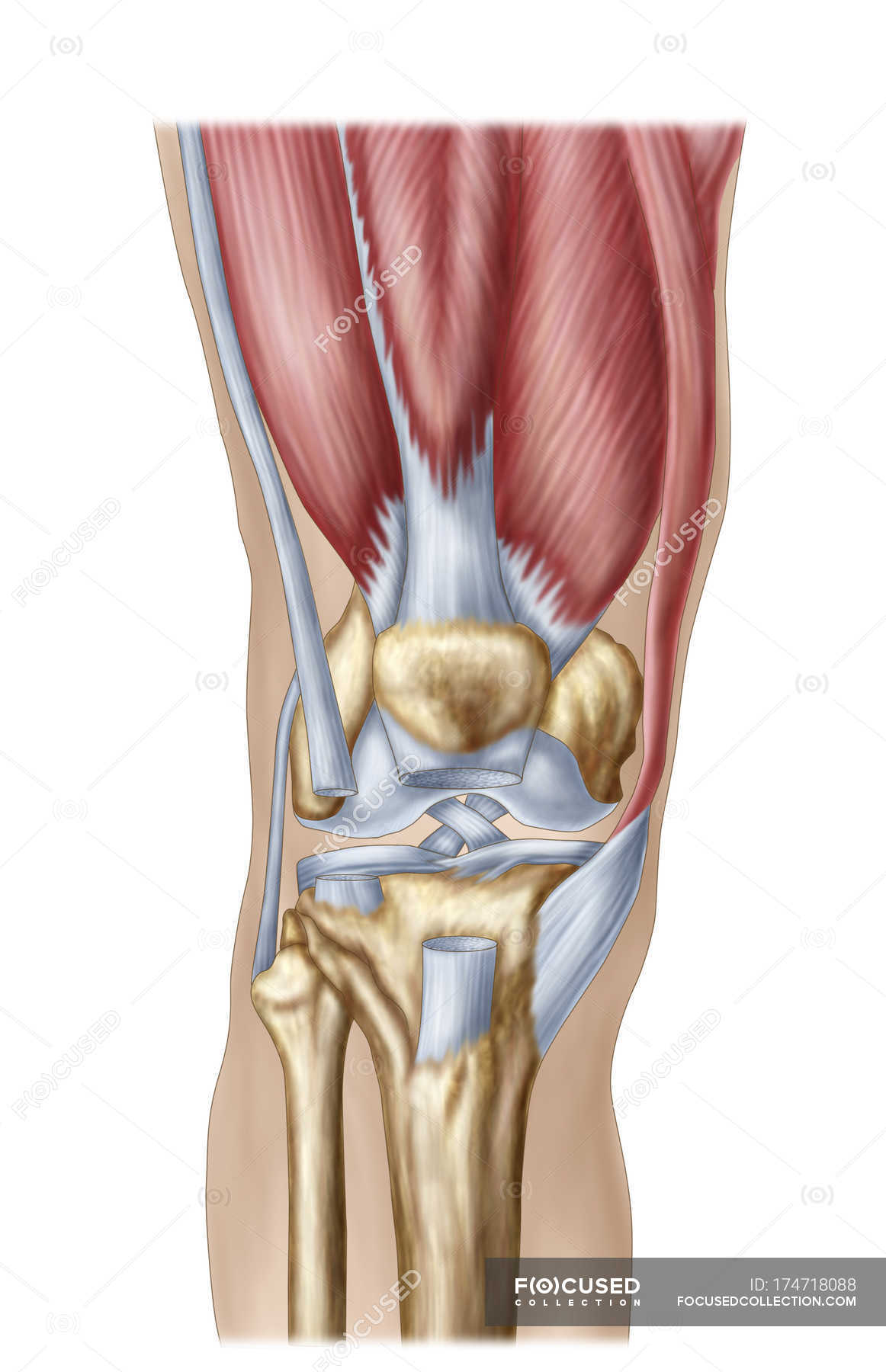 Anatomy Of Human Knee Joint On White Background Stock Photo