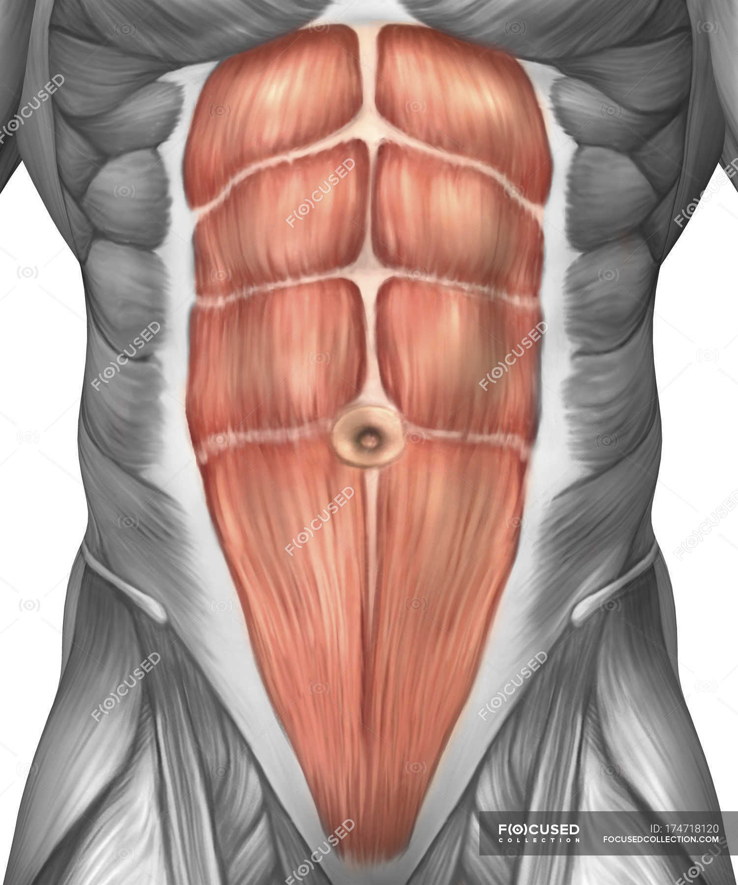 Close Up View Of Male Abdominal Muscles Stock Photo 174718120