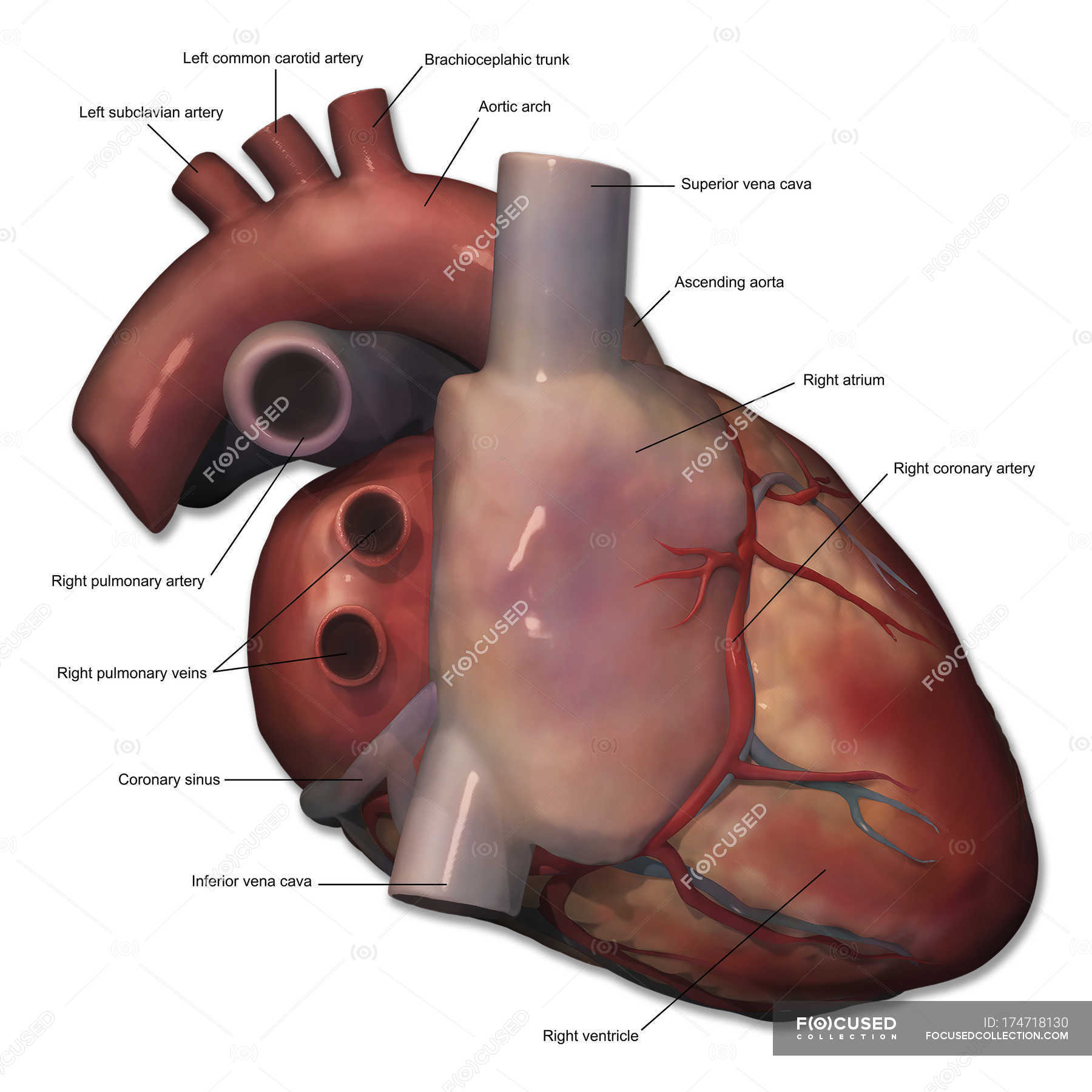 Right Lateral View Of Human Heart Anatomy With Annotations Three