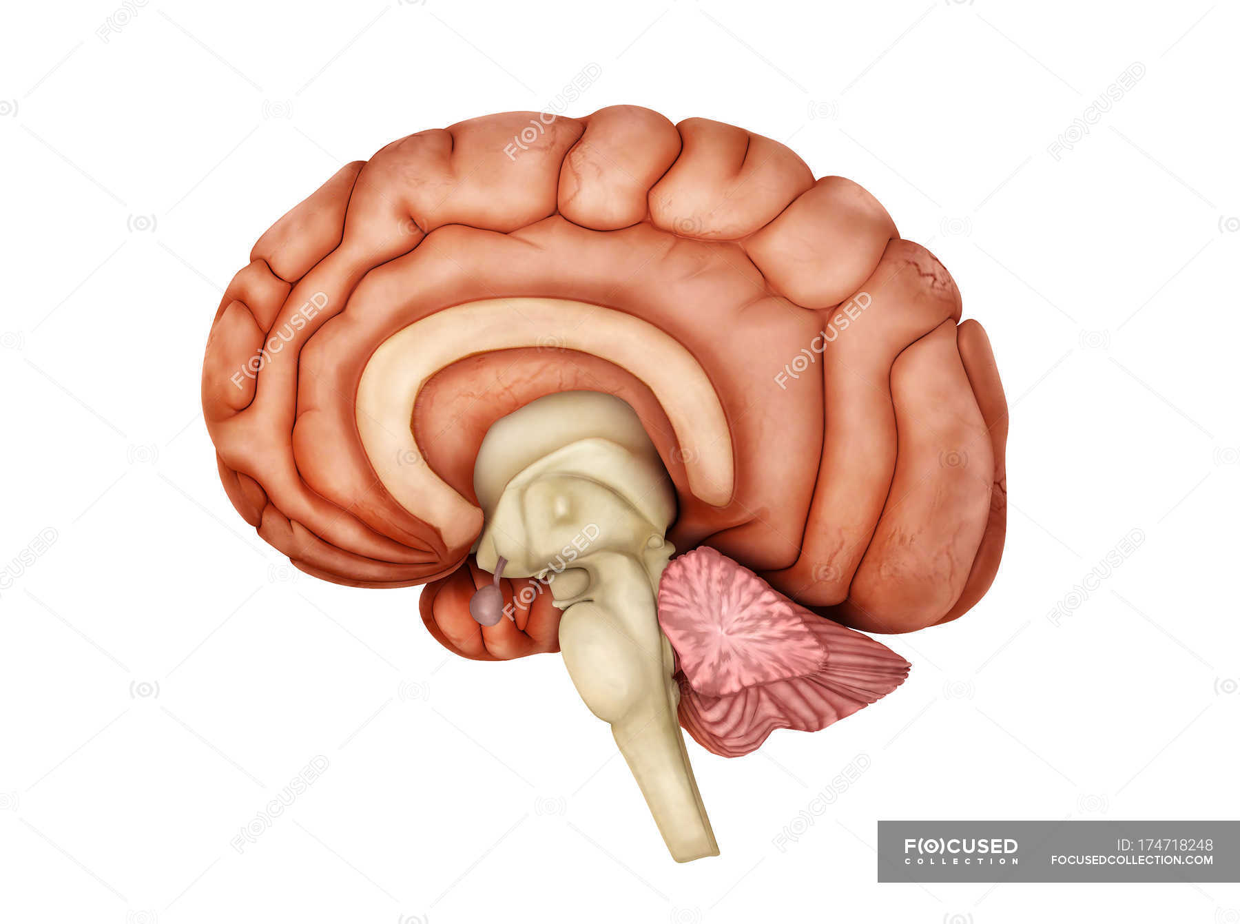 Medical Illustration Of Human Brain Anatomy Stock Photo 174718248
