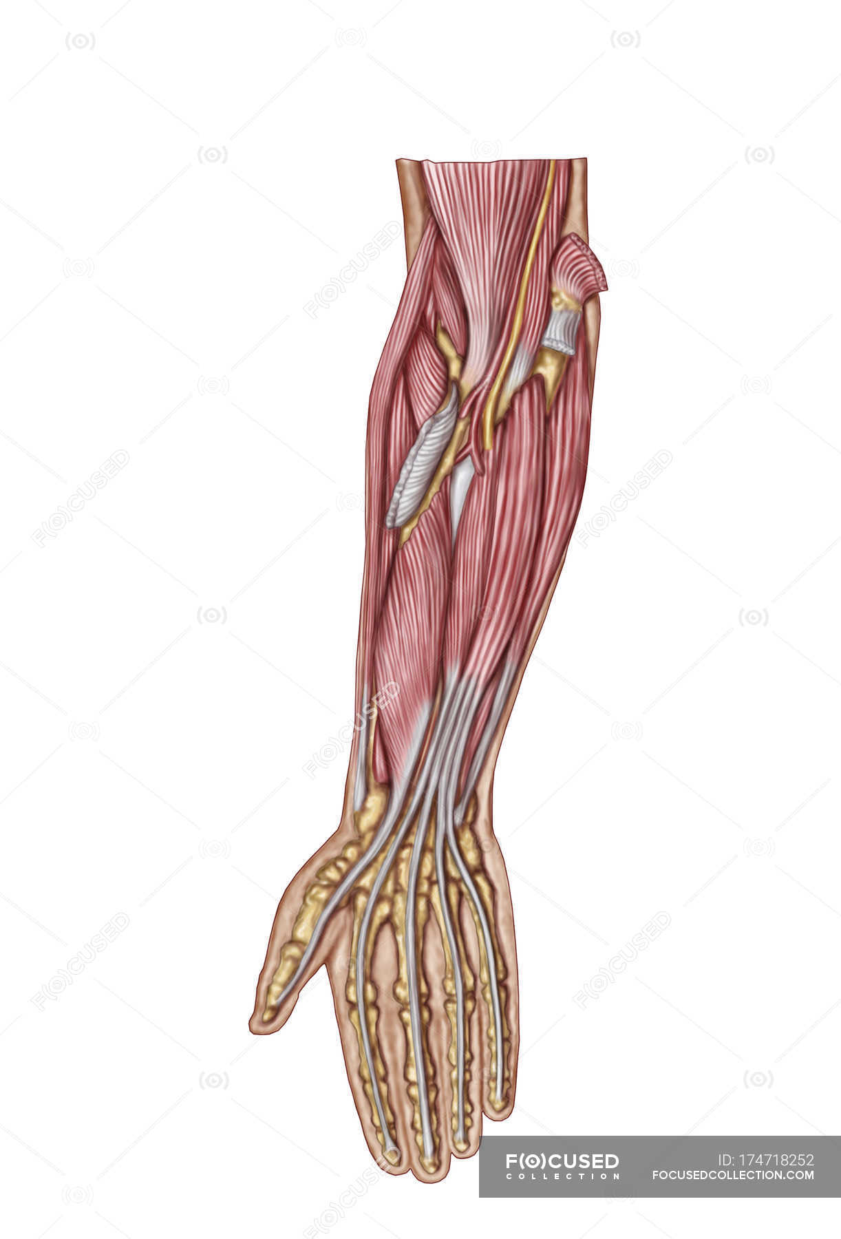 Anatomy of human forearm muscles — Stock Photo | #174718252