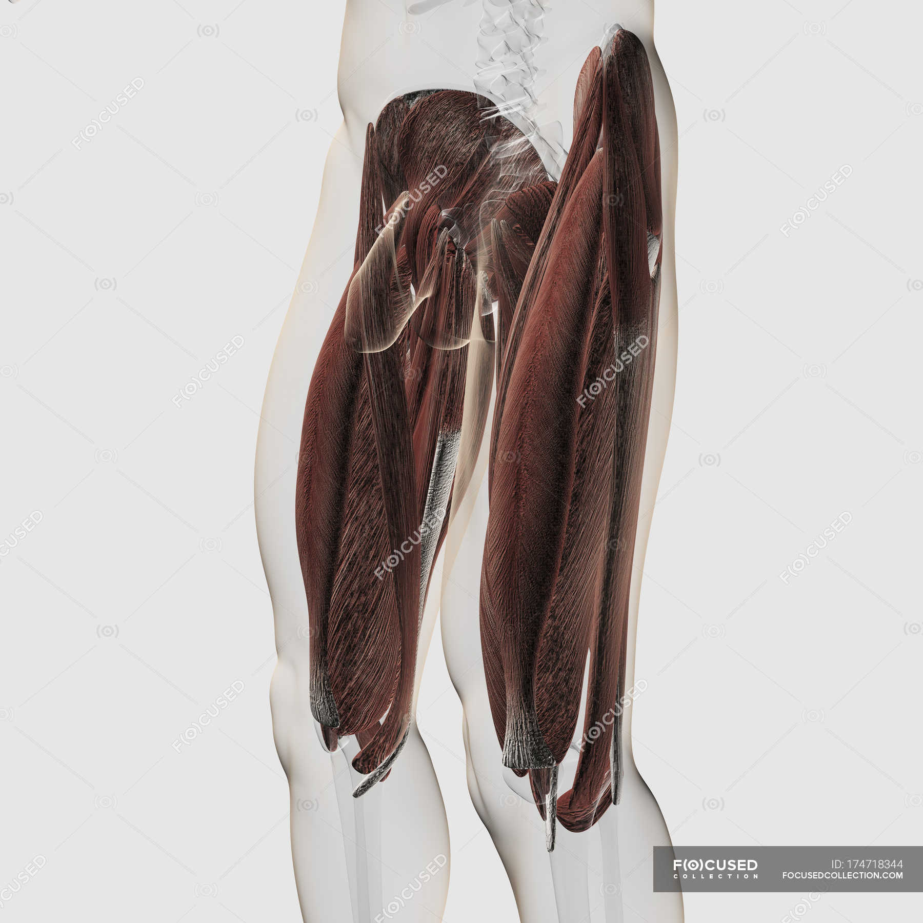 Male muscle anatomy of the human legs — Stock Photo | #174718344