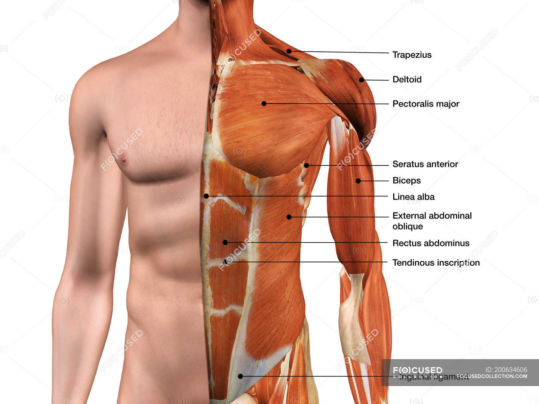 Male anterior thoracic wall chest muscles labeled on white ...