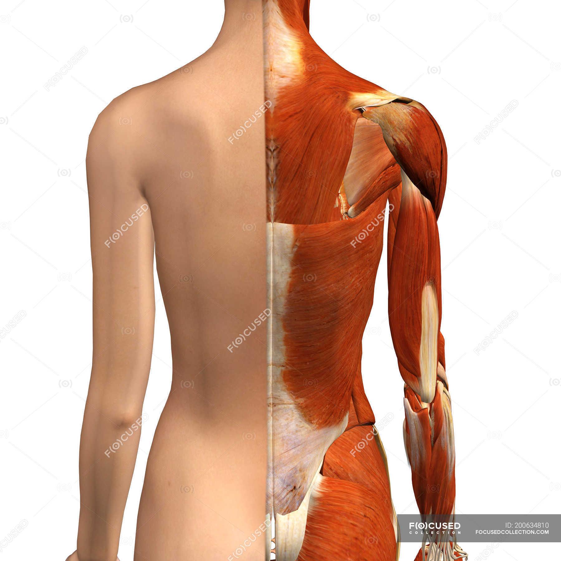 Vista posterior de músculos femeninos con capa de la piel dividida ...