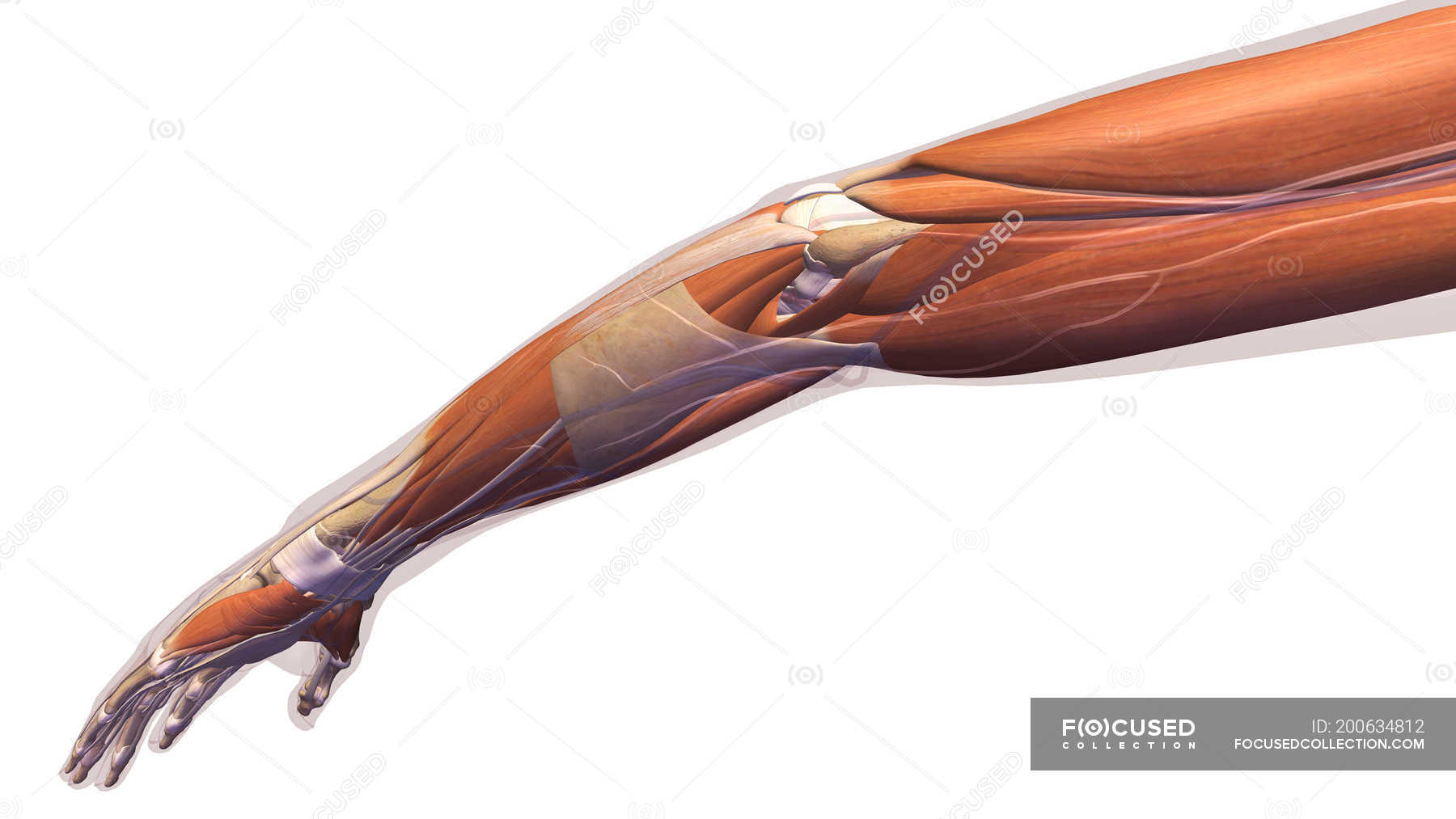 Human Arm With Elbow Muscles And Tendons On White Background Copy