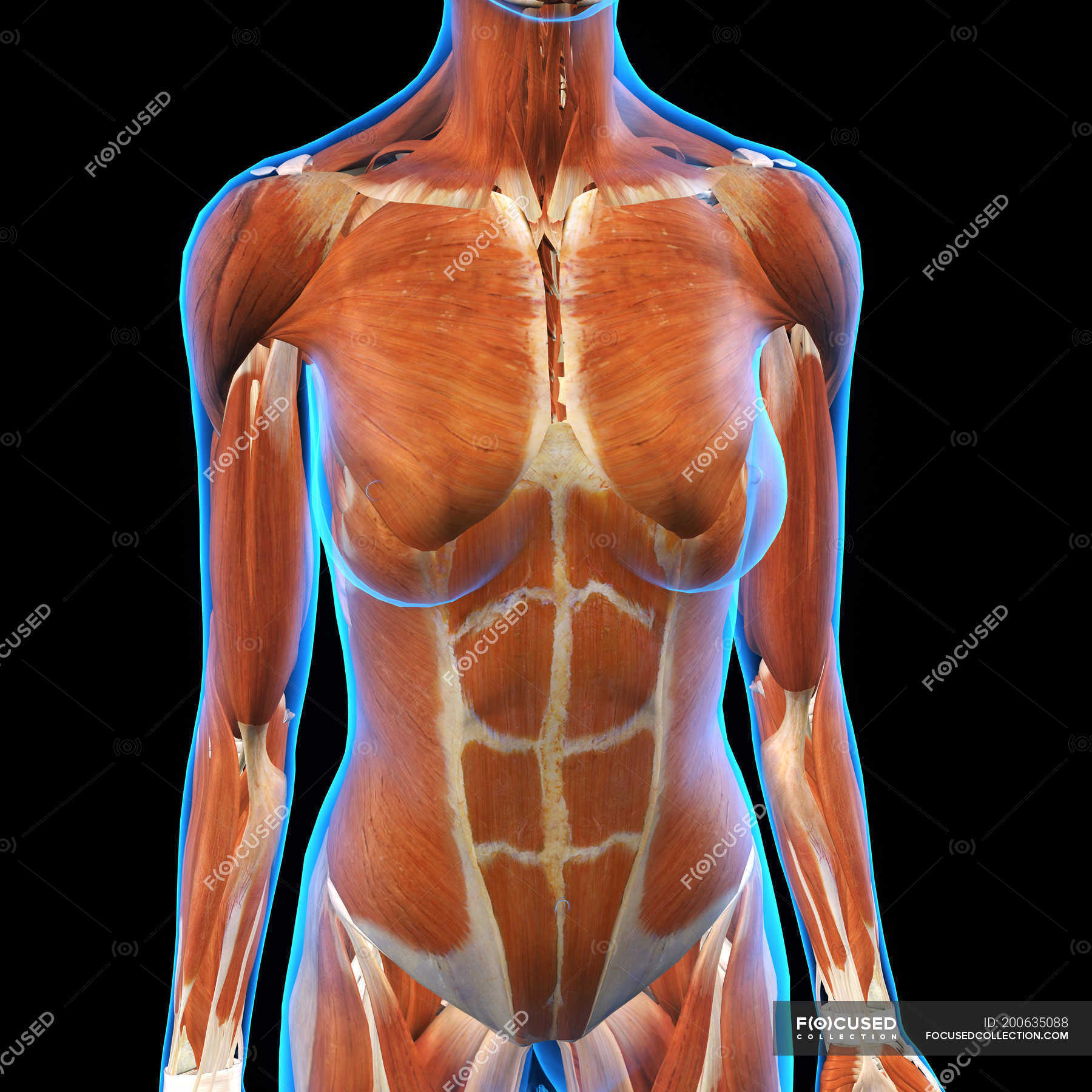 Female chest and abdomen muscles on black background — Stock Photo ...