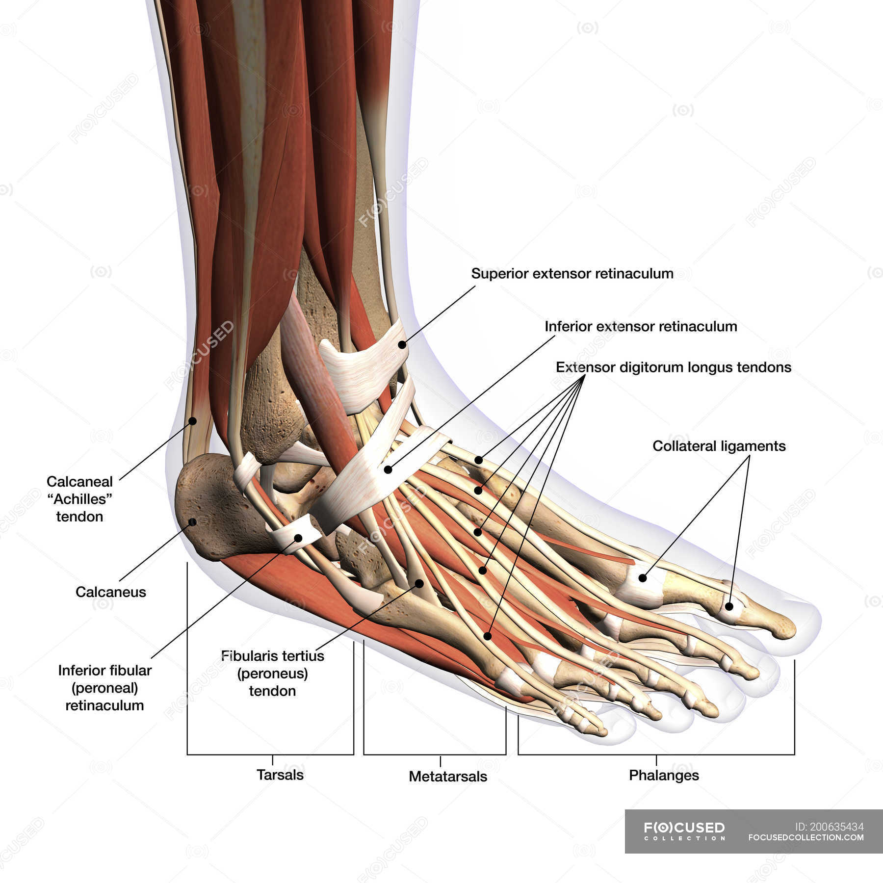 Anatomy of human foot with labels on white background — Stockfoto ...