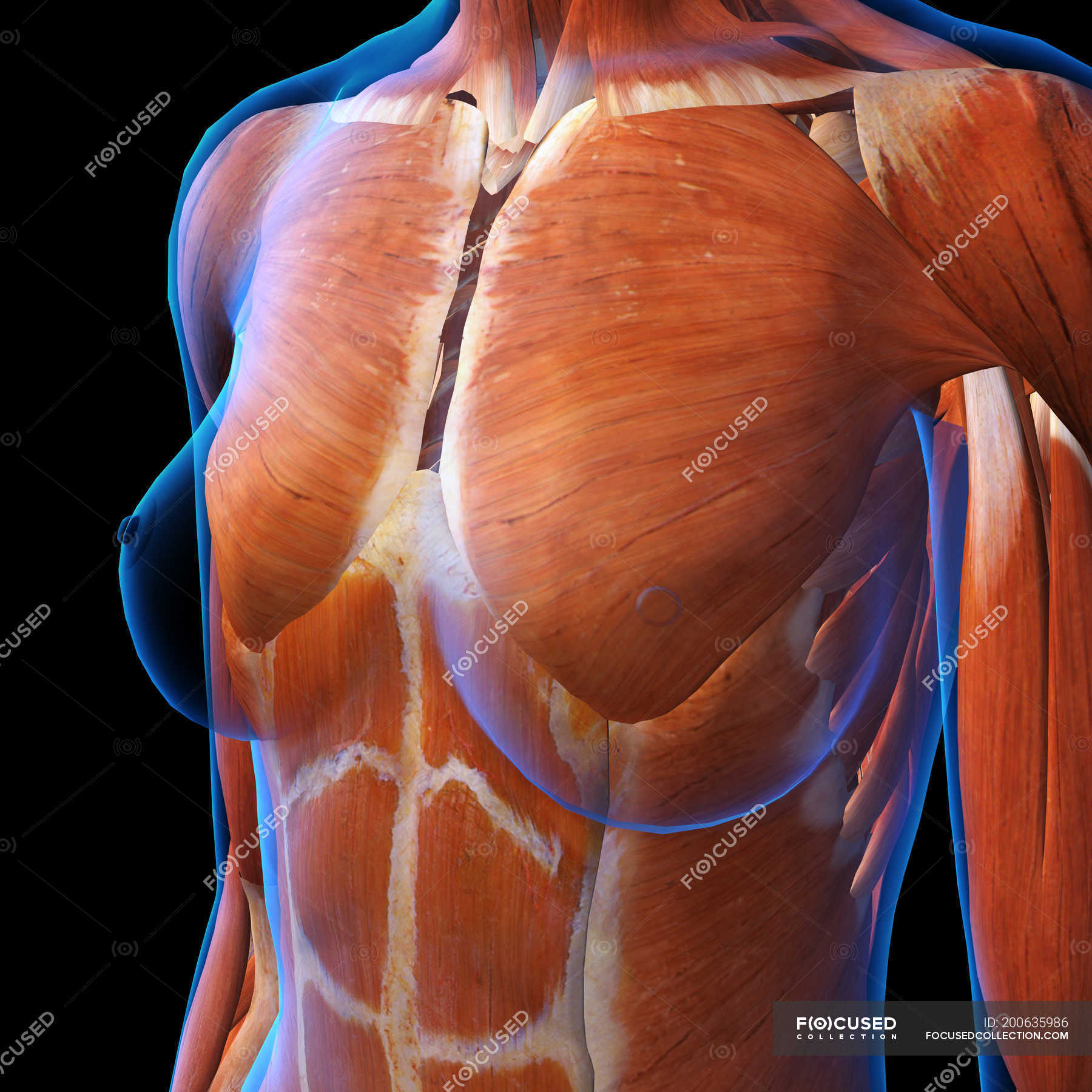 Female Chest Muscles On Black Background Human Representation