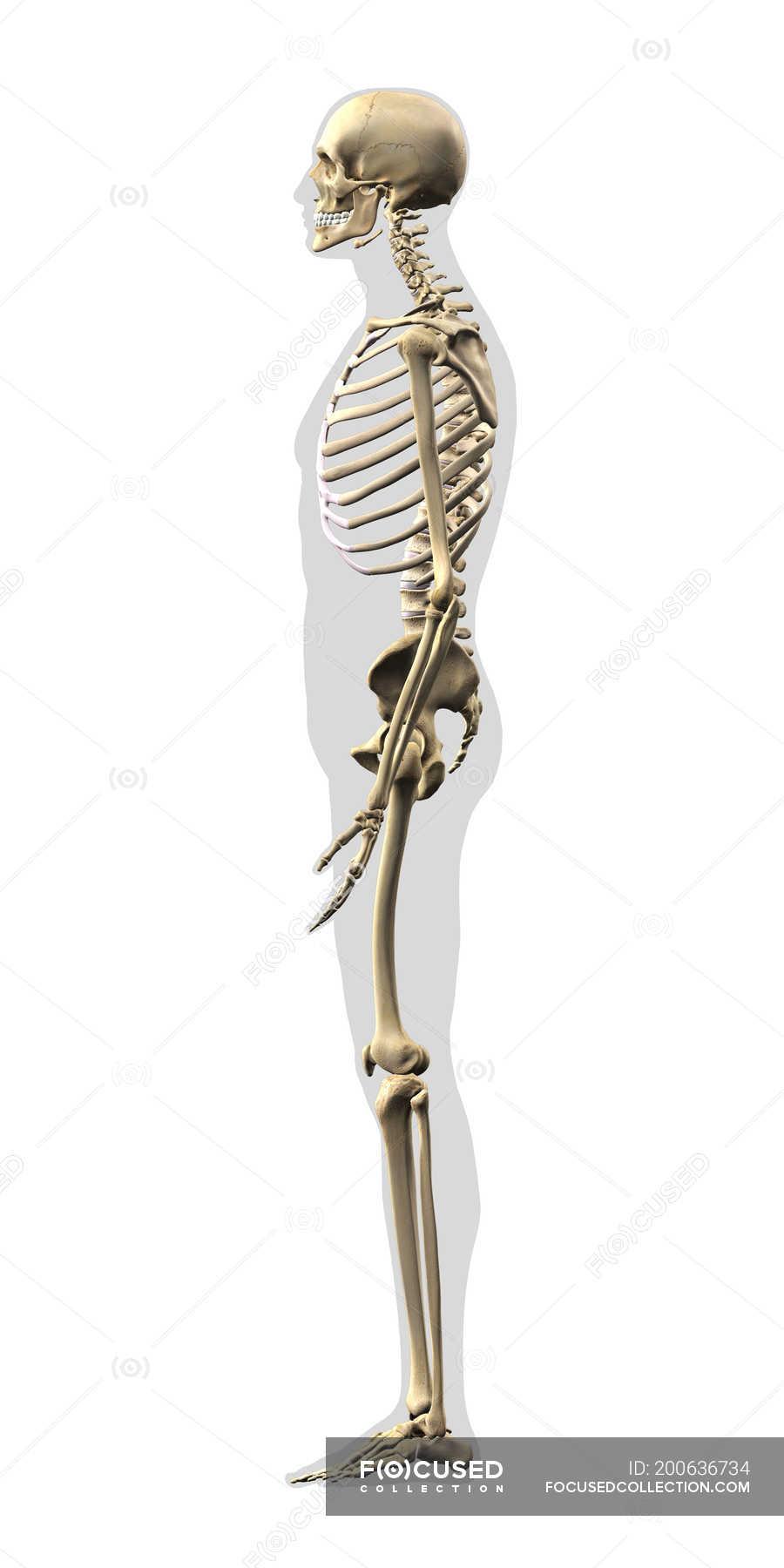 Side View Of Human Skeleton On White Background Stock Photo