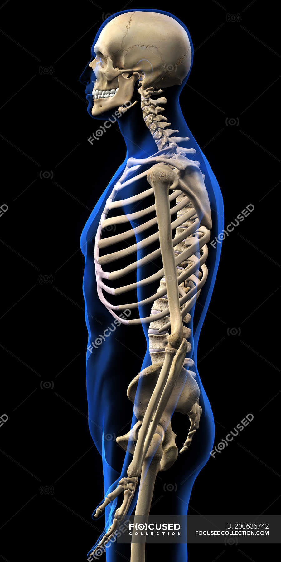 Side View Of Human Skeleton On Black Background Stock Photo