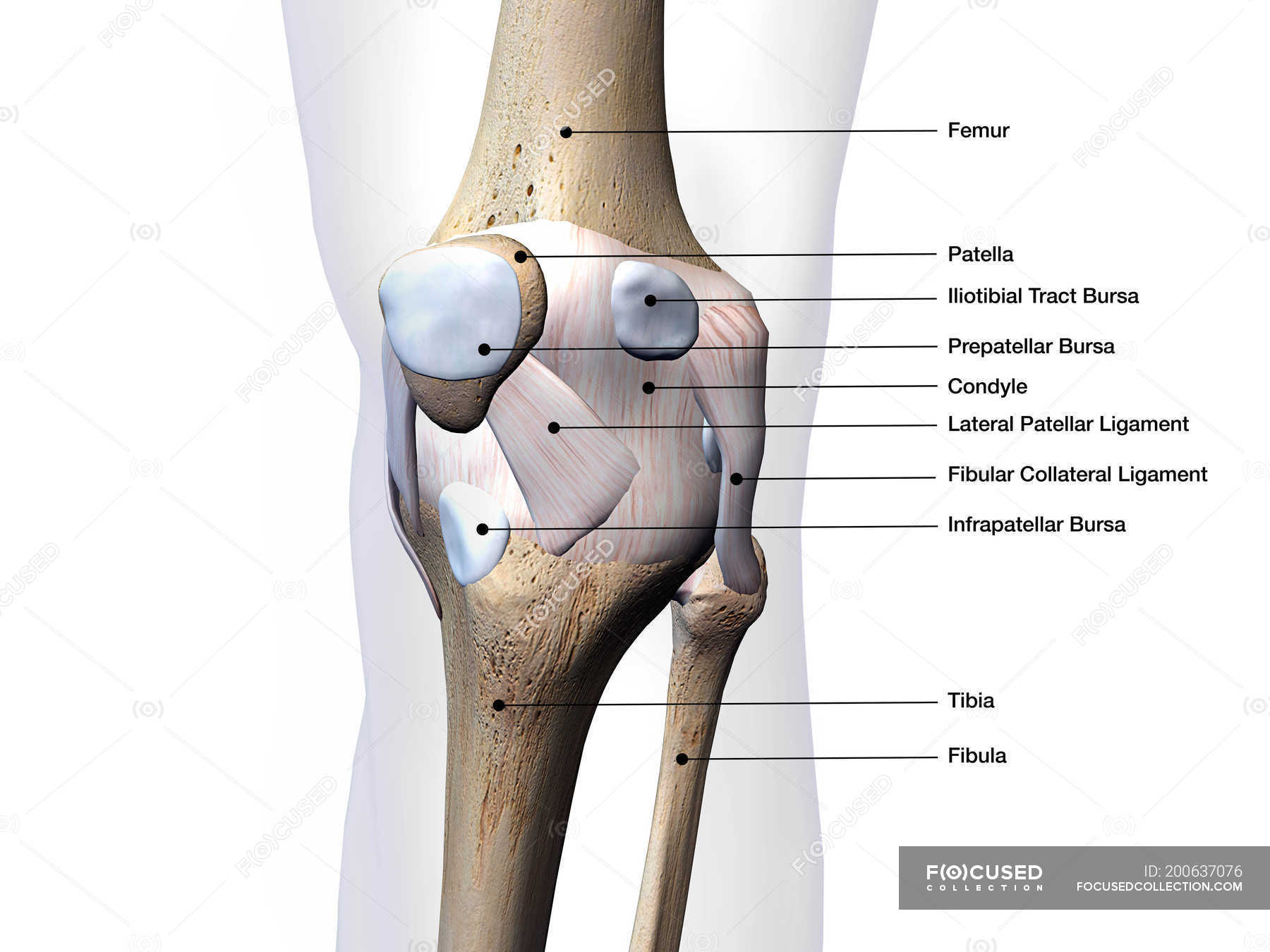 Knee Joint Bones And Connective Tissues Labeled On White Background  U2014 Close Up  Horizontal
