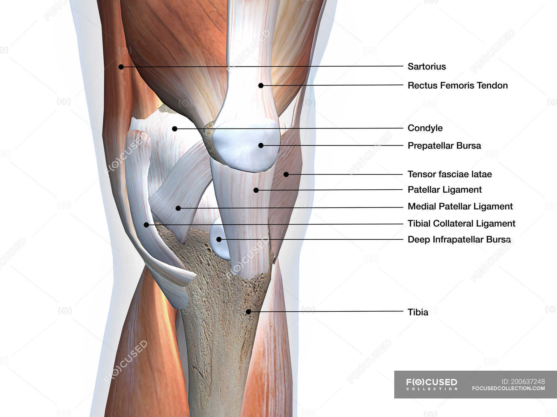 Anterior View Of Knee Muscles And Ligaments With Labels On White