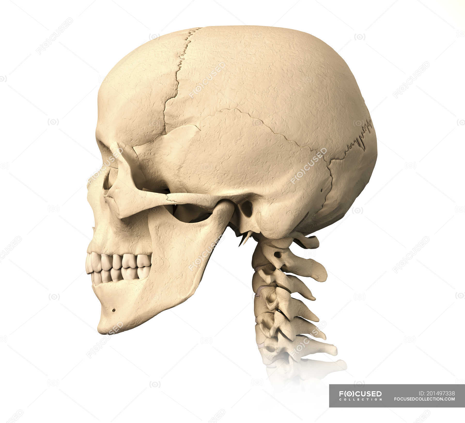 Side view of anatomy of human skull isolated on white background ...
